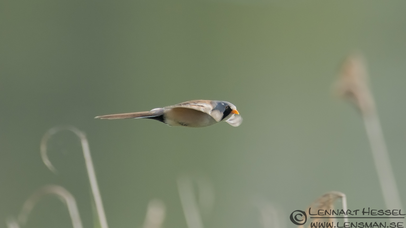Bearded Reedling midsummer