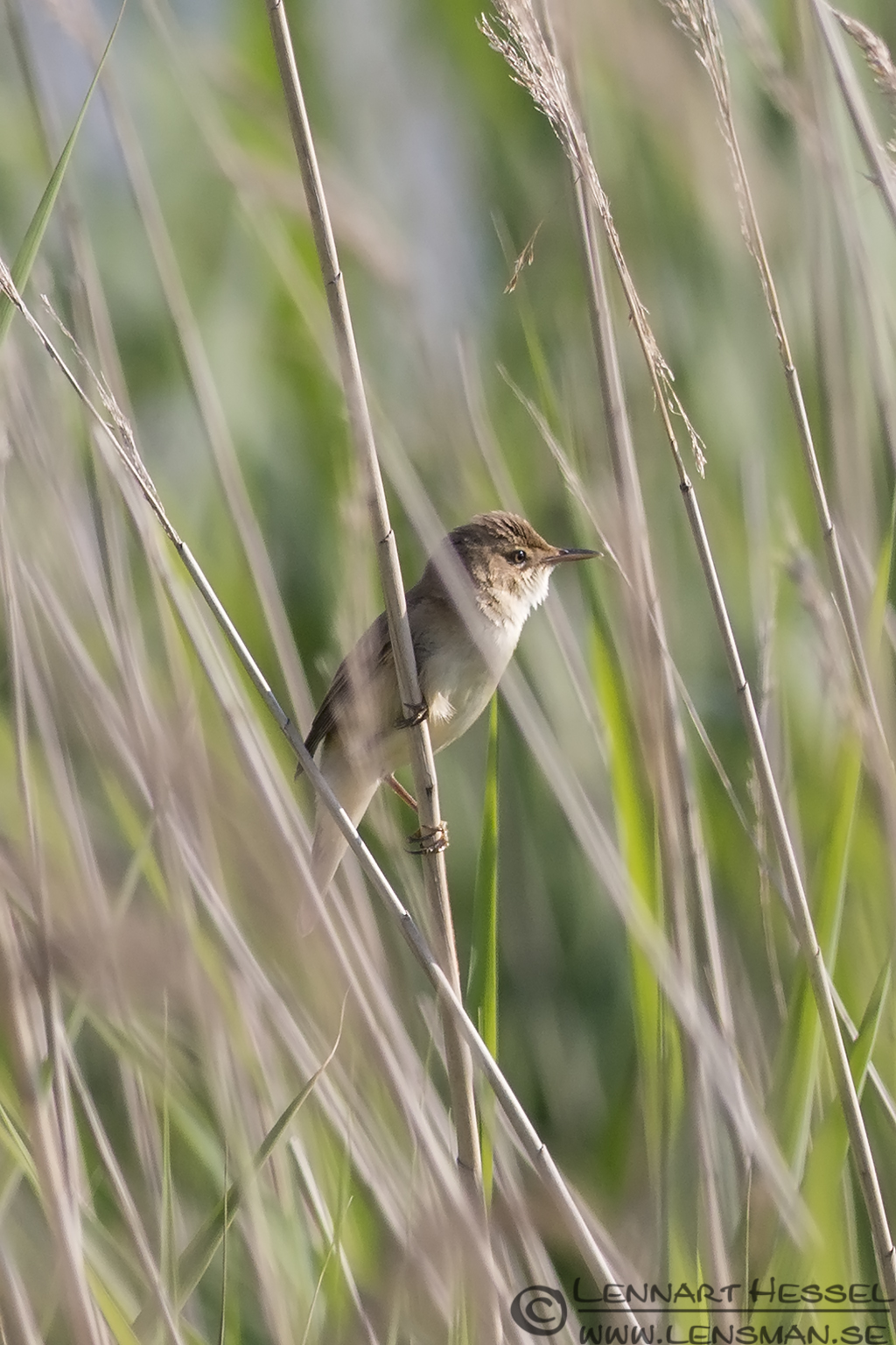 European Reed Warbler midsummer