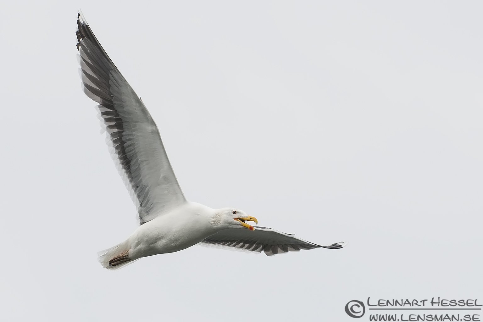 Great Black-backed Gull midsummer