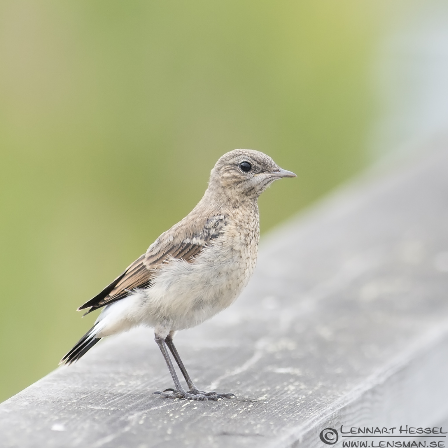 Northern Wheatear midsummer