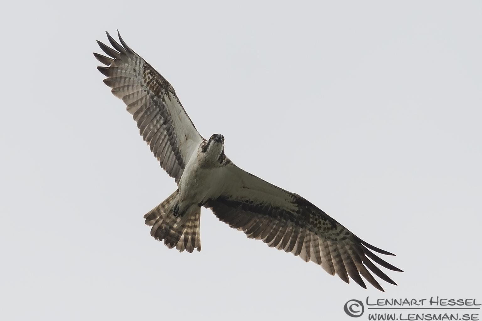 Osprey midsummer