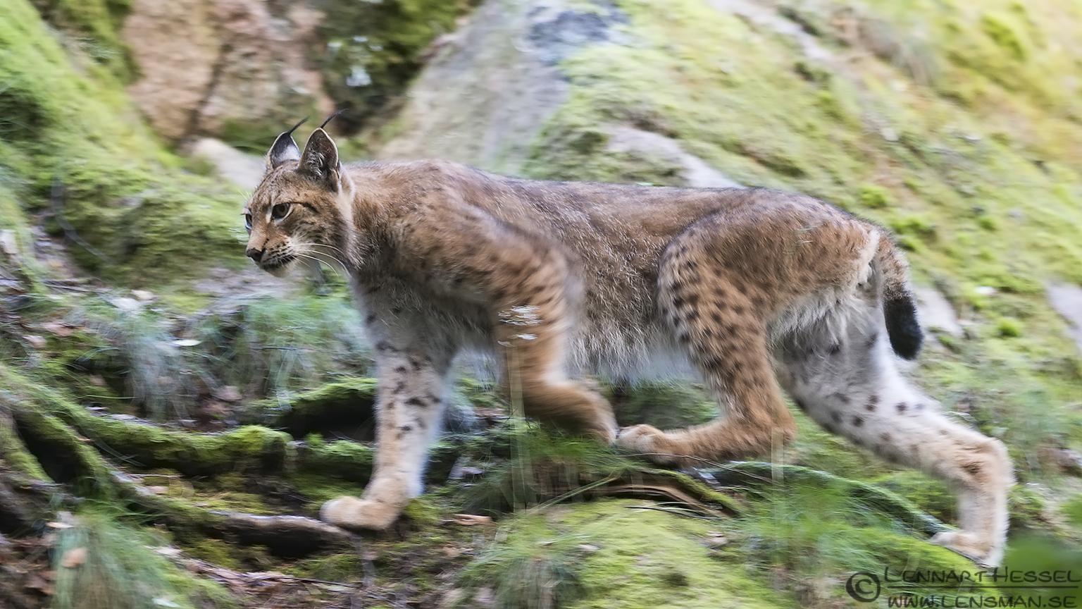 Eurasian Lynx at Nordens Ark
