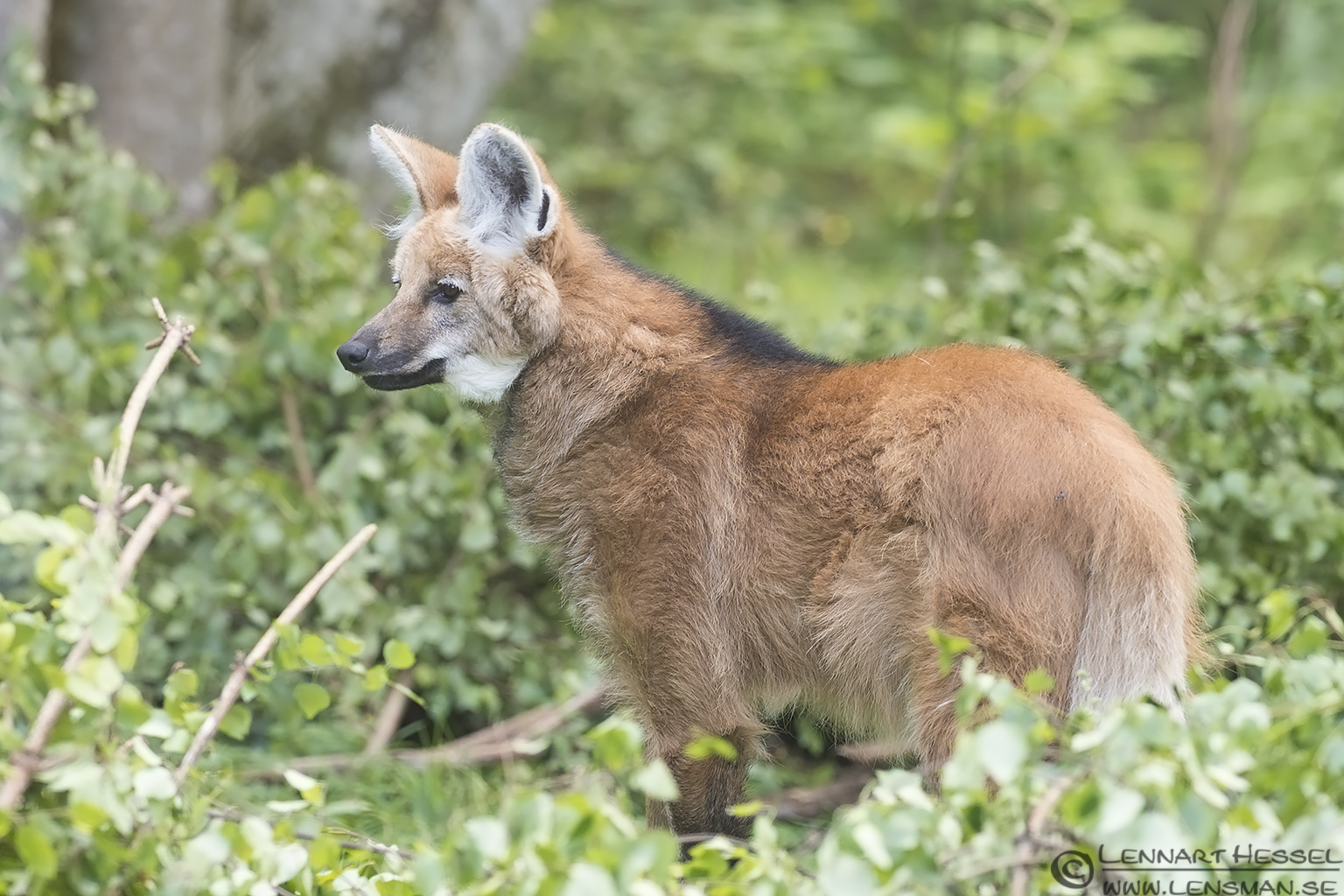 Maned Wolf at Nordens Ark