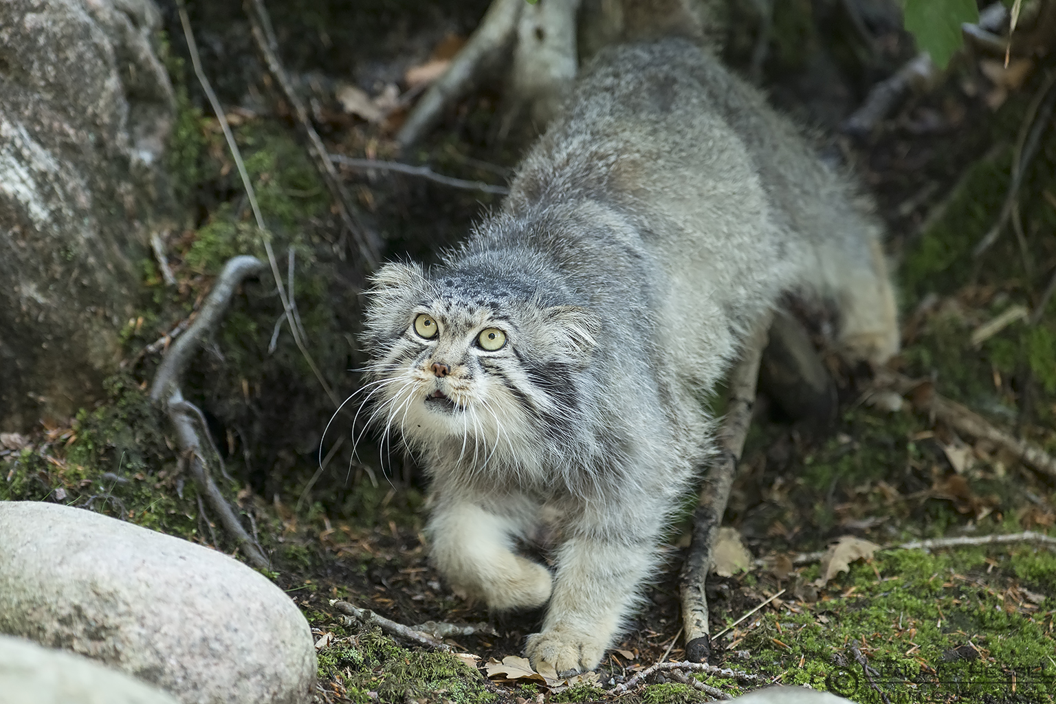 Pallas's cat at Nordens Ark