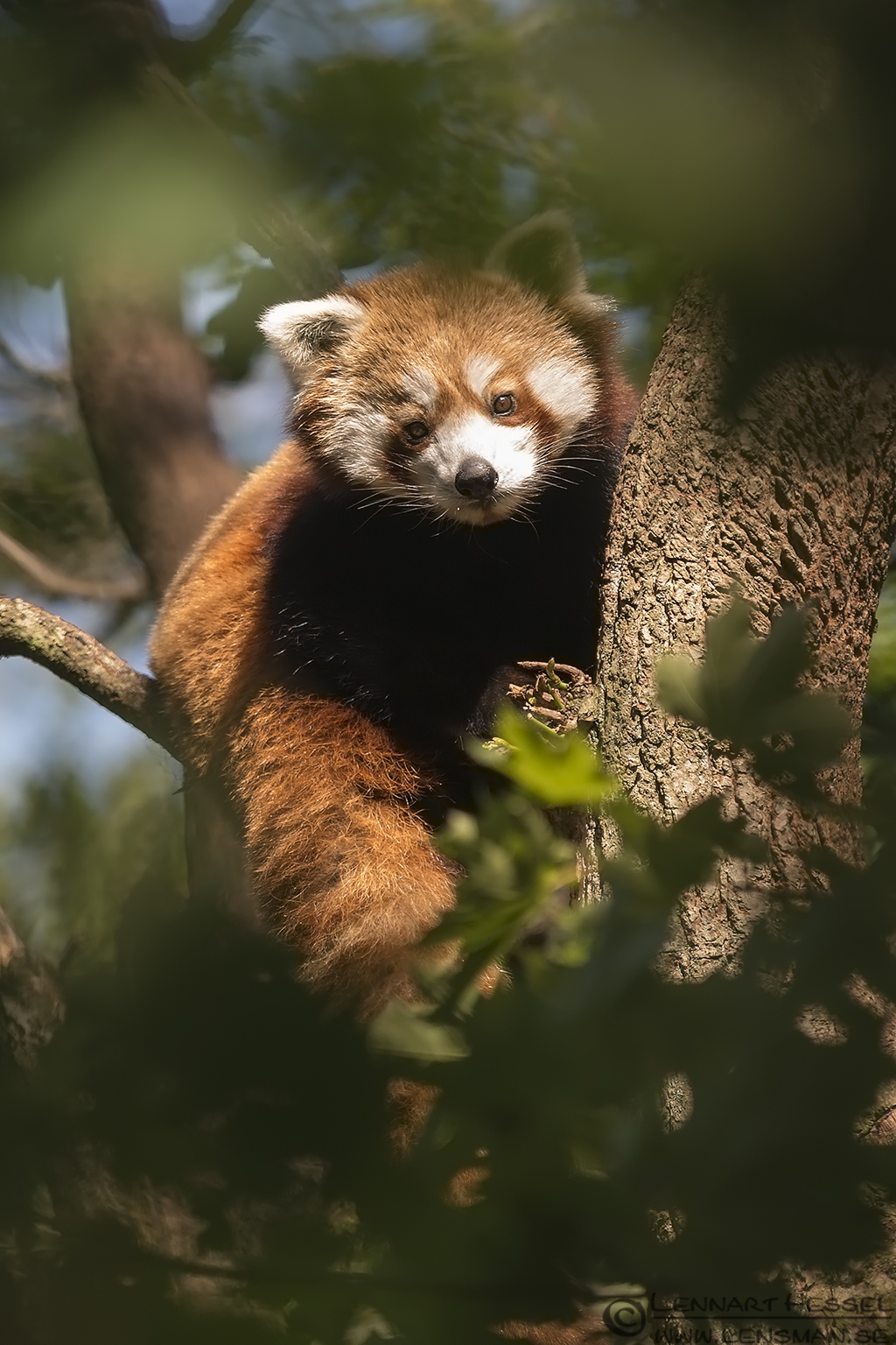 Red Panda at Nordens Ark