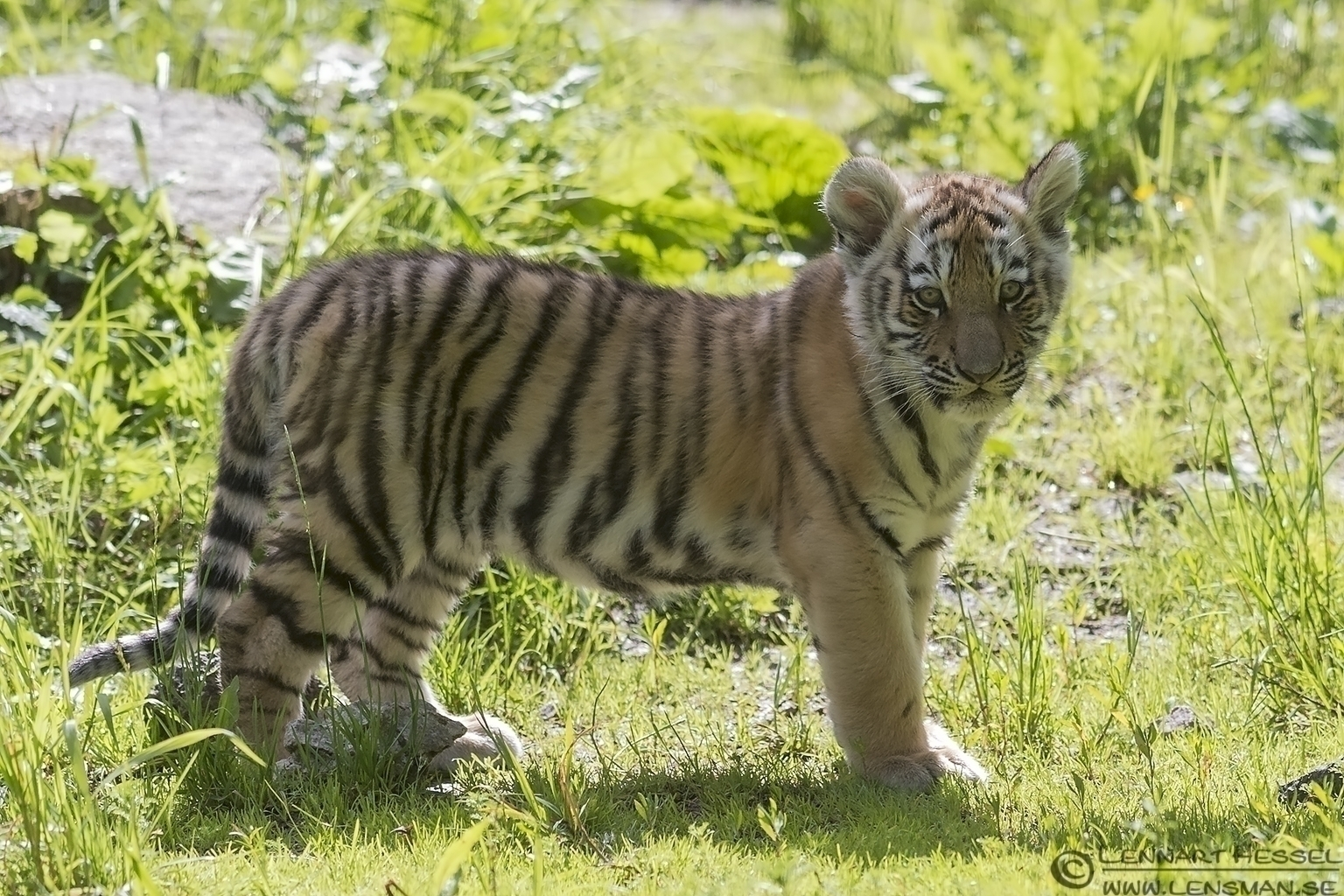 Siberian Tiger at Nordens Ark