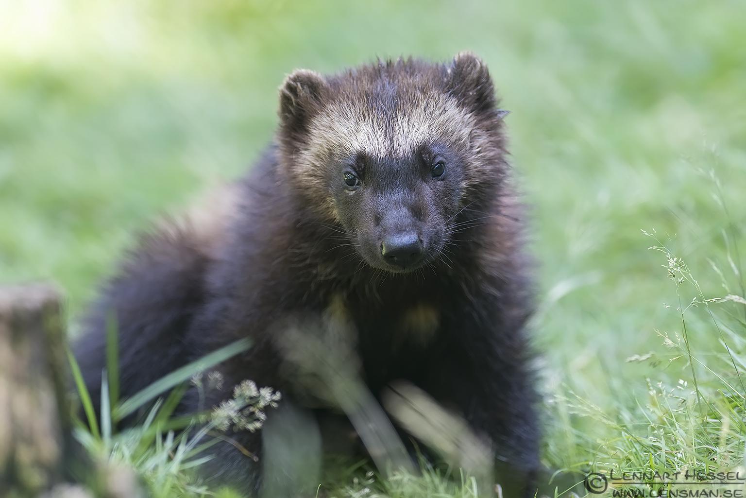 Wolverine cub Nordens Ark