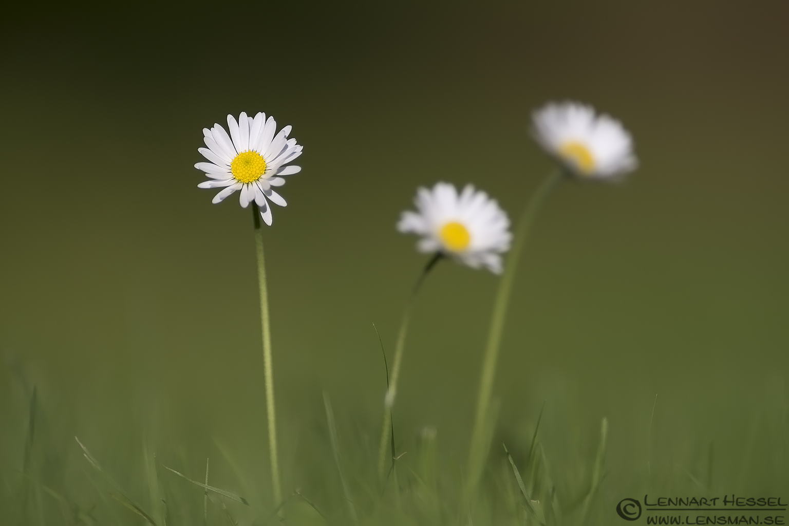Common Daisy visit West Gotland