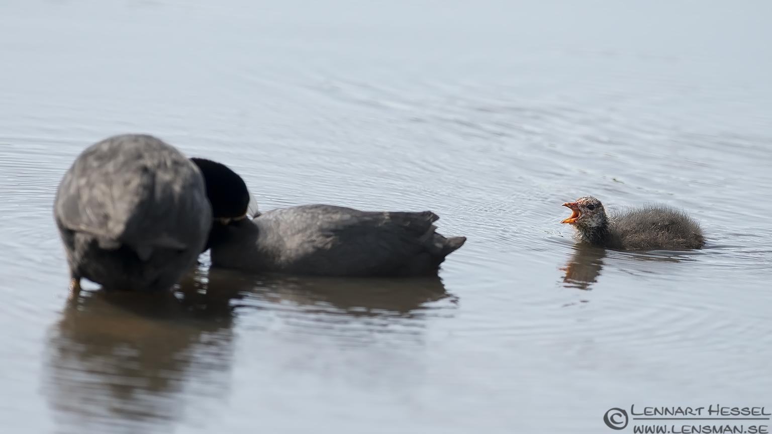 Eurasian Coot visit West Gotland