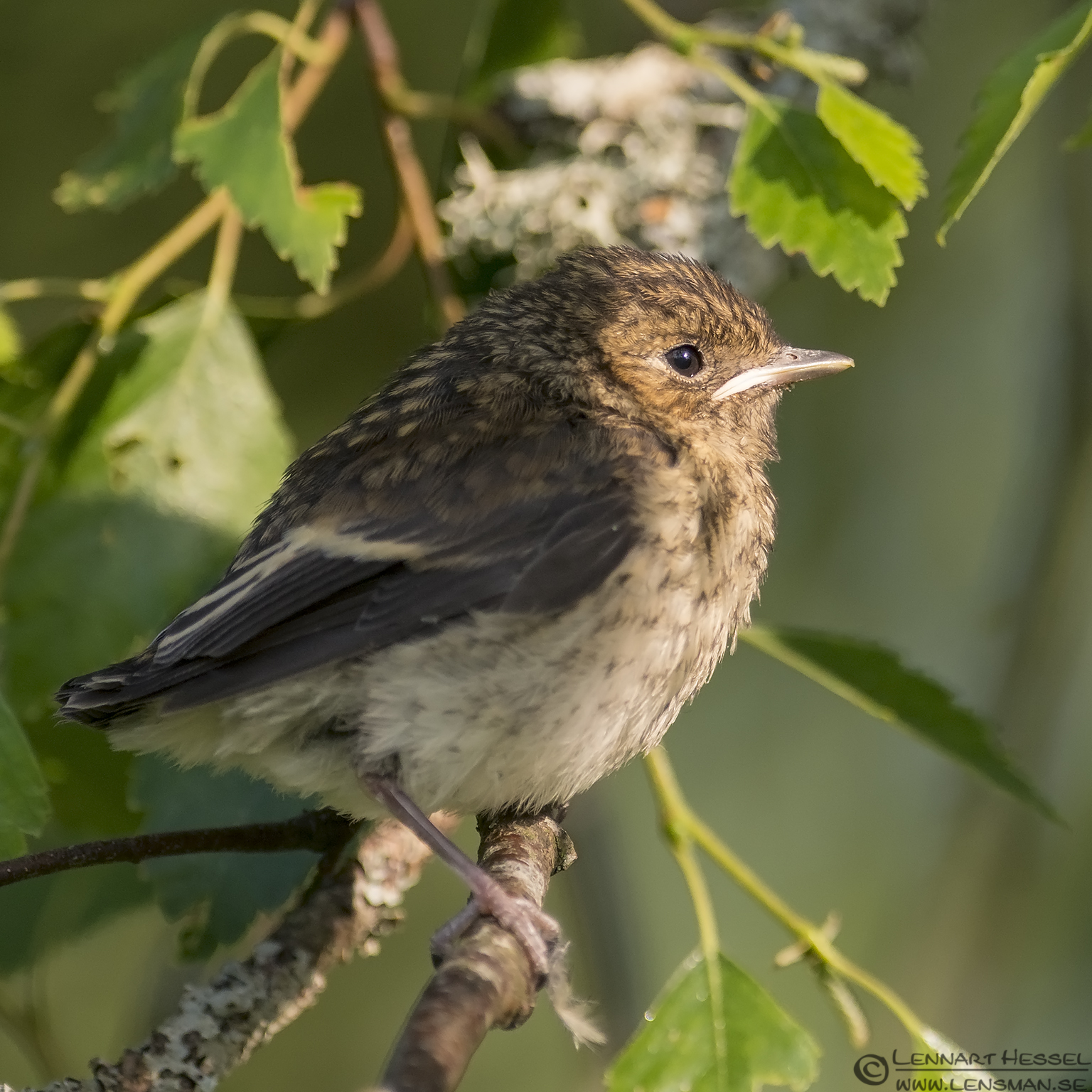 Pied Flycatcher young visit West Gotland