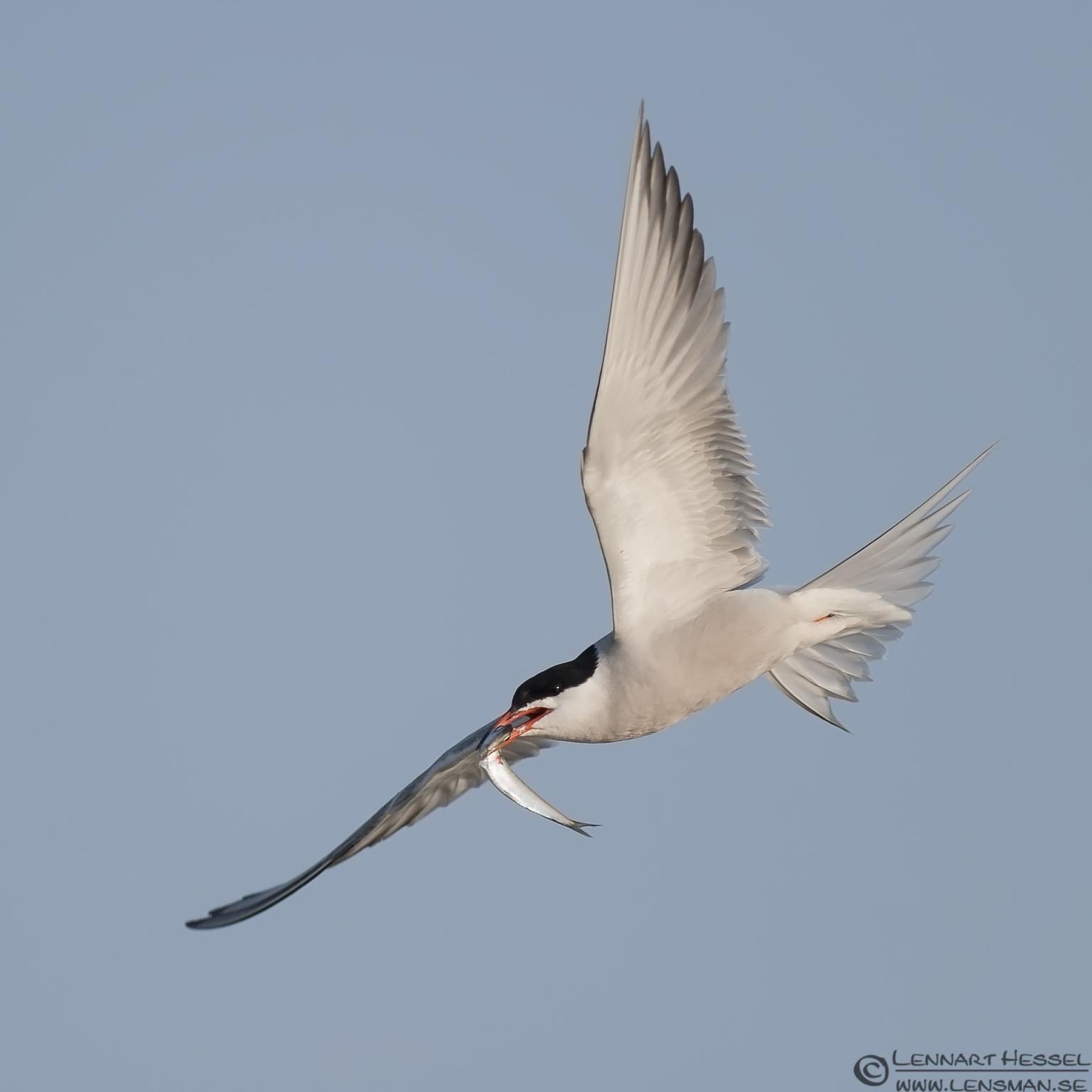 Common Tern acrobatic evening