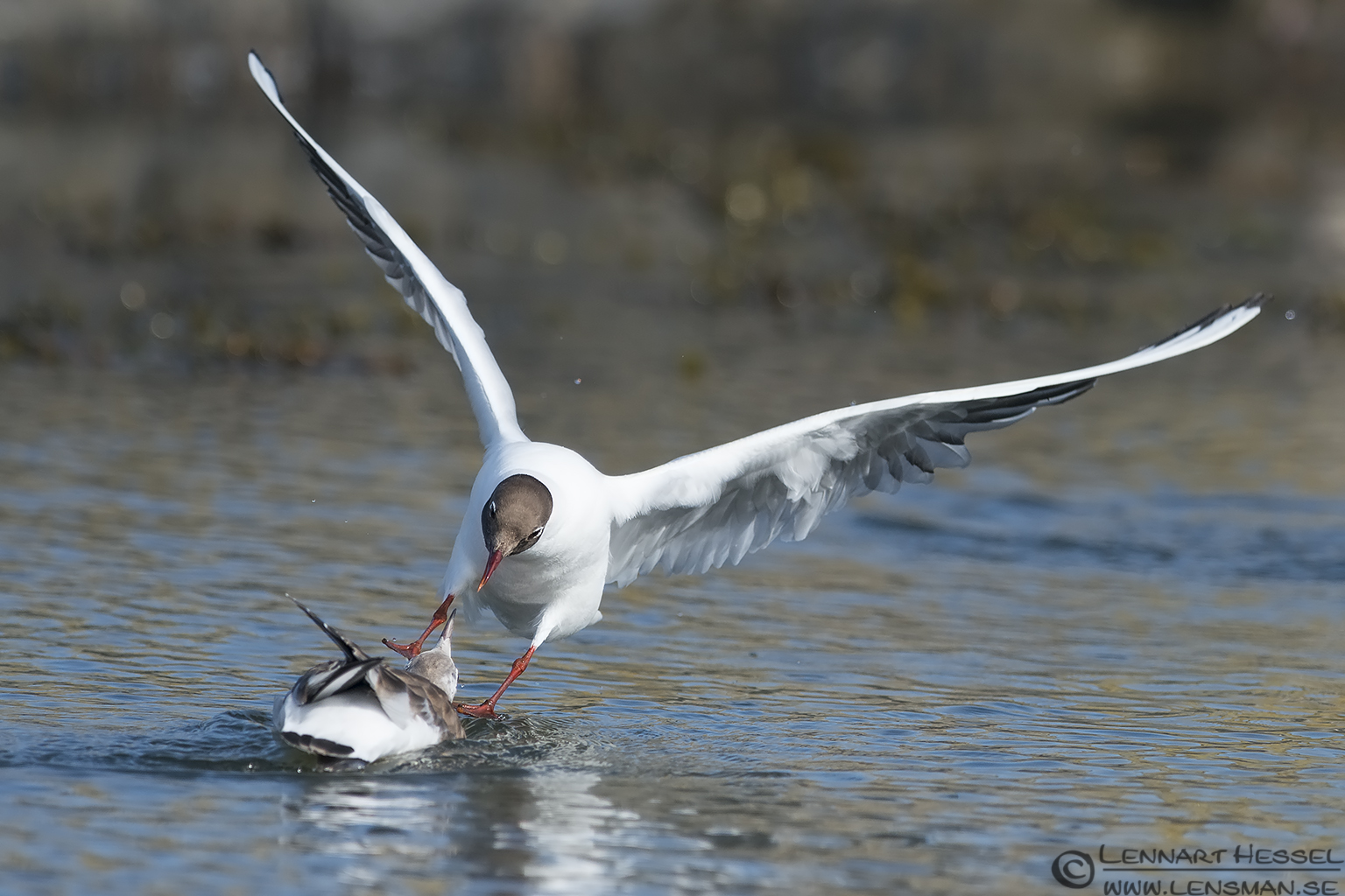 Black-headed Gull attack evening