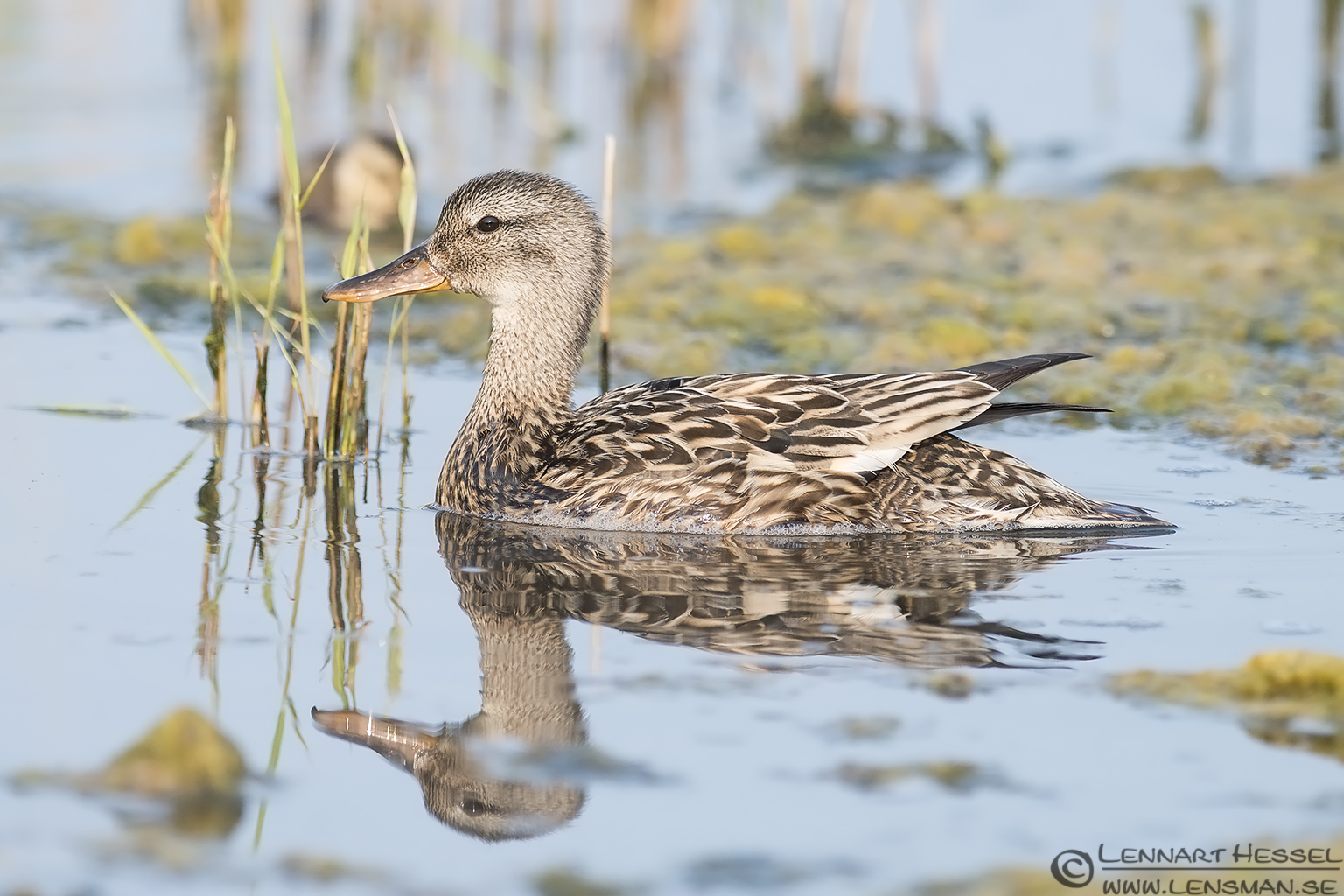 Female Gadwall morning Getterön