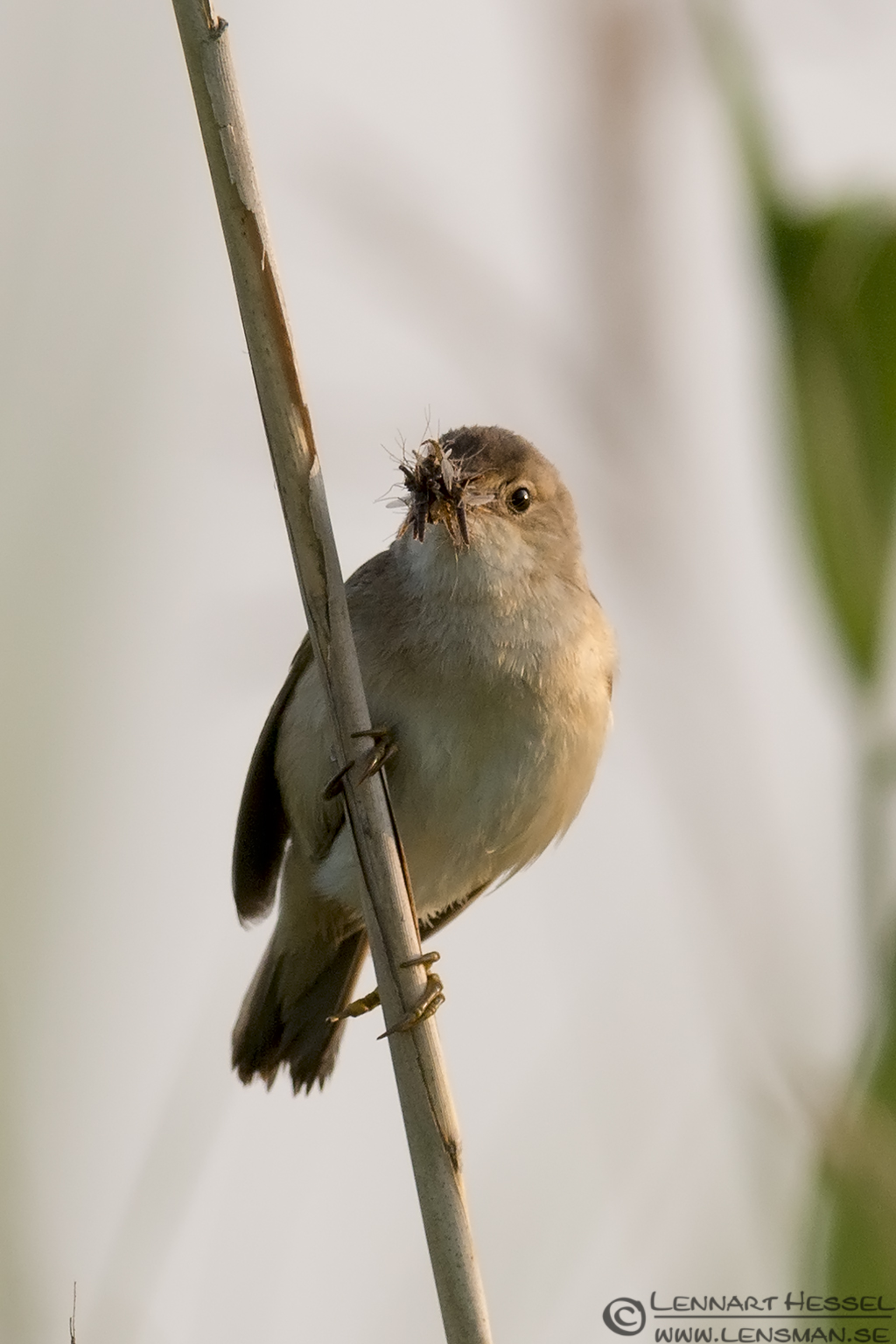 Reed Warbler with food morning Getterön