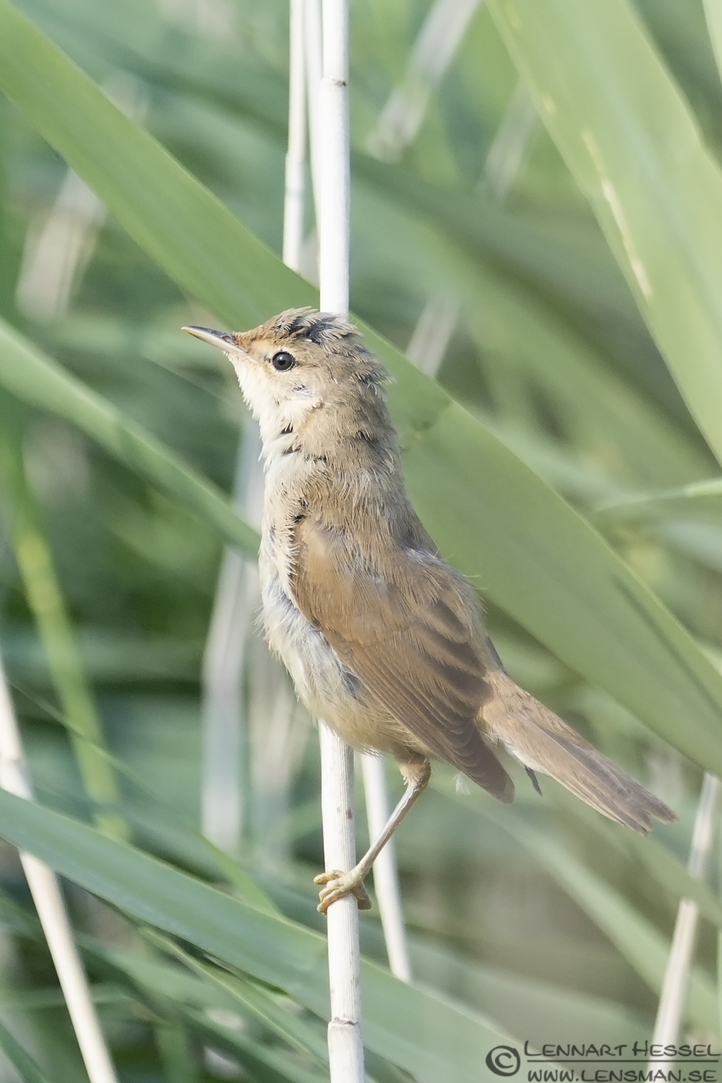 Reed Warbler morning Getterön