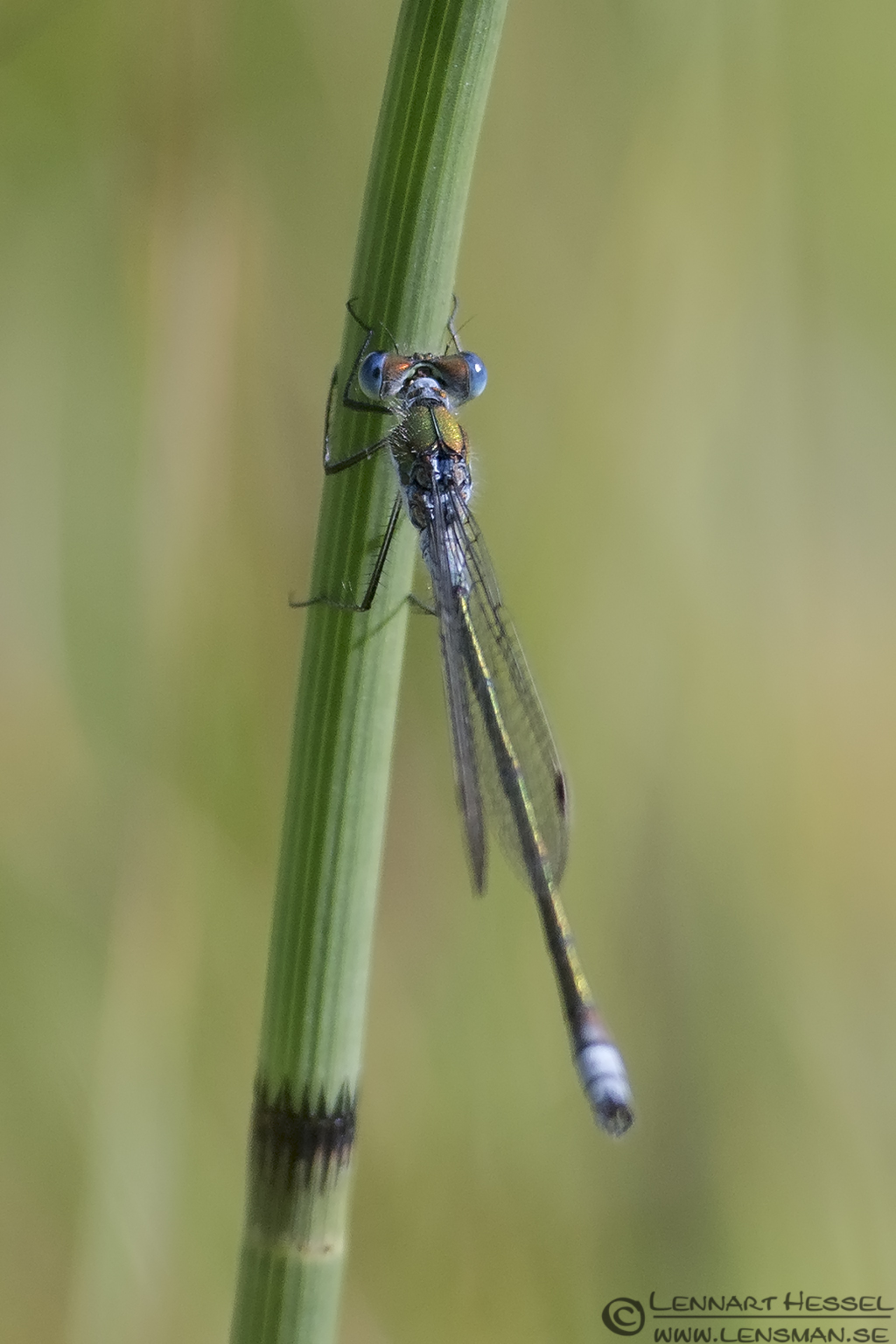 Blue tailed Damselfly picture