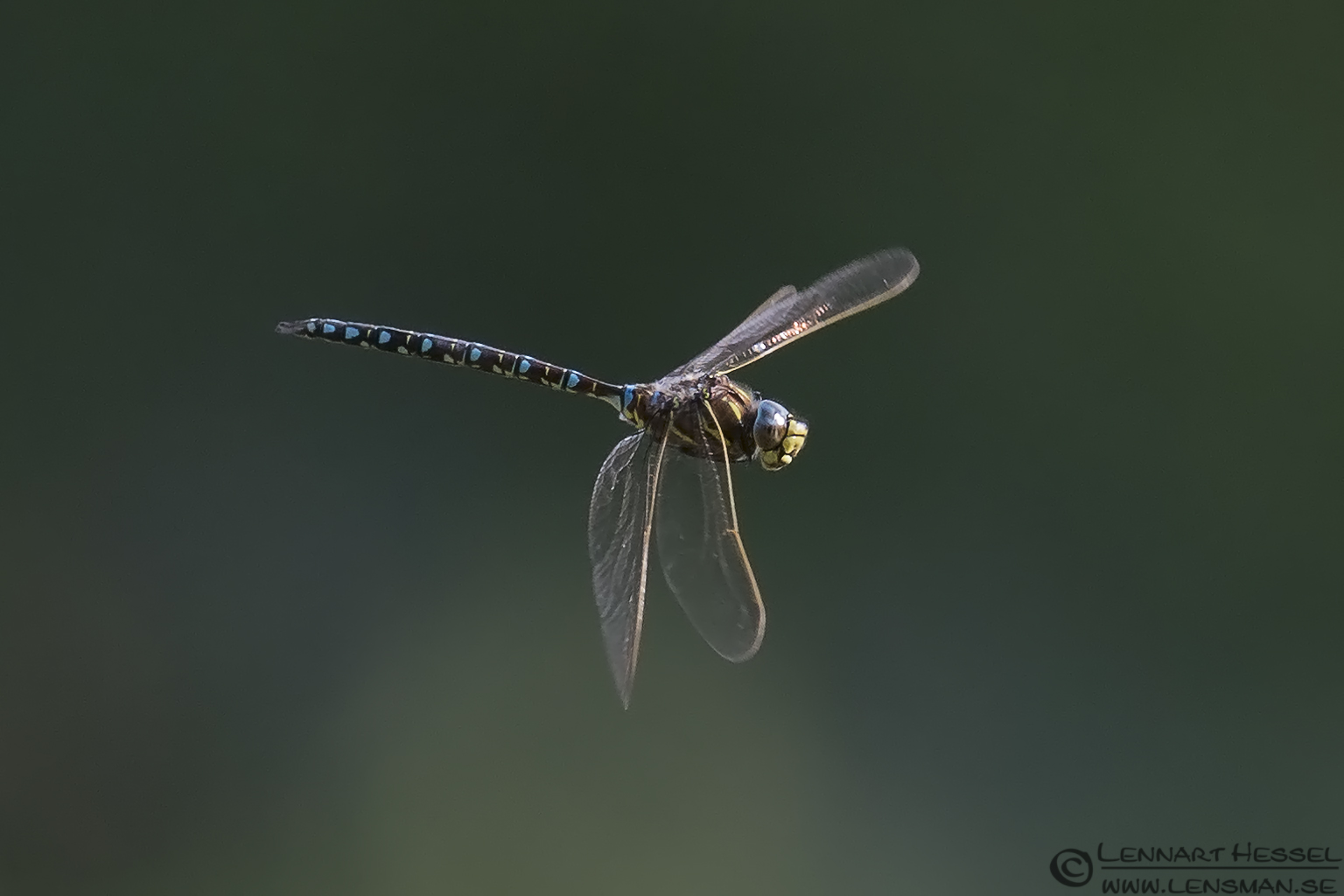 Sideview Common Hawker picture