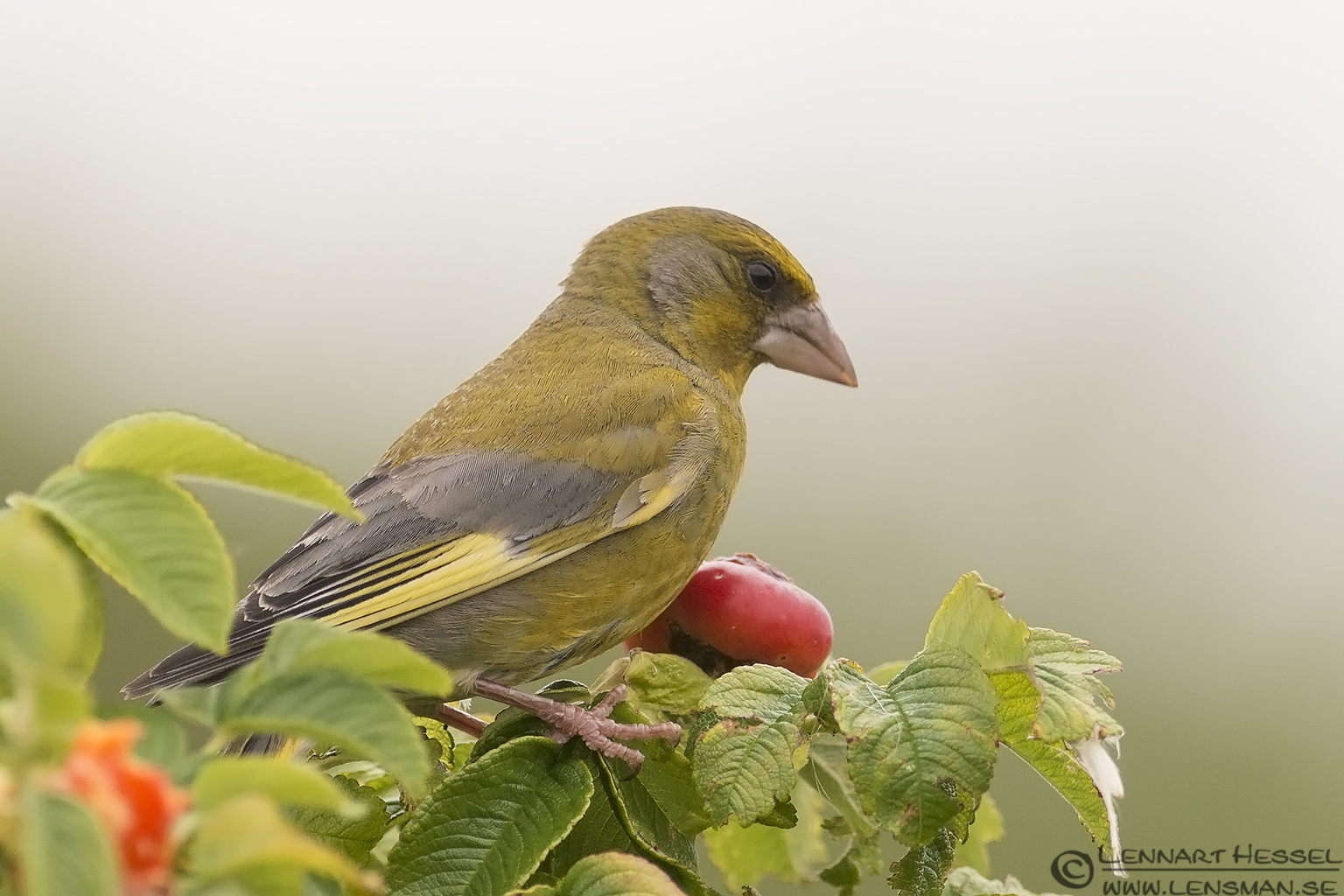 Greenfinch picture
