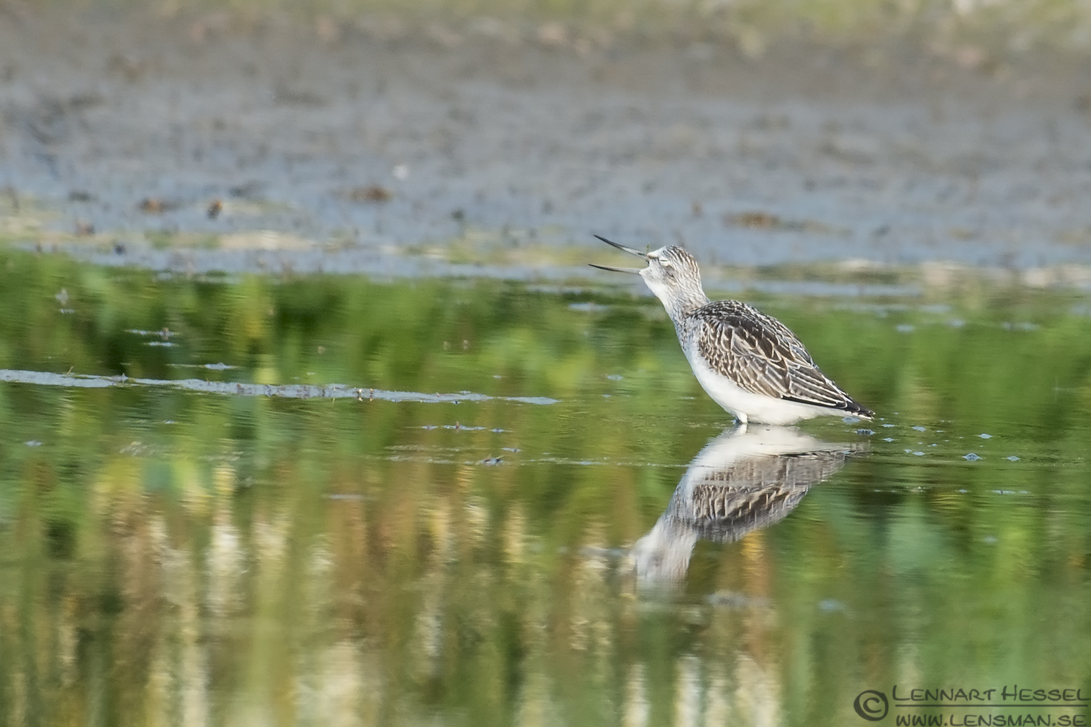 Common Greenshank Halland