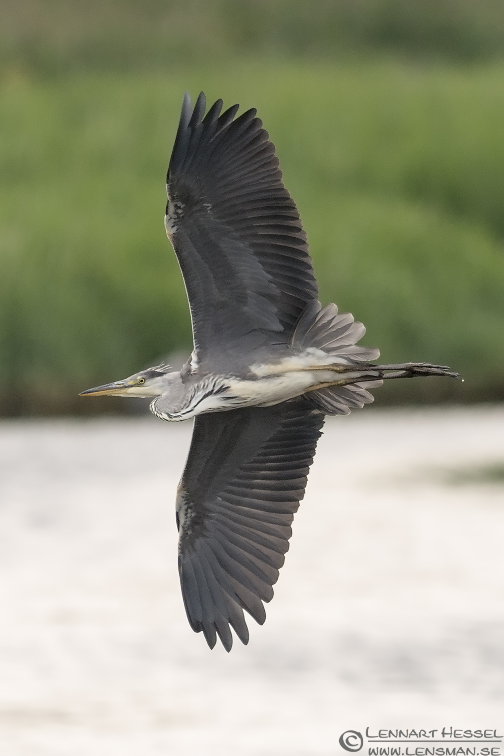 Flying Grey Heron Halland