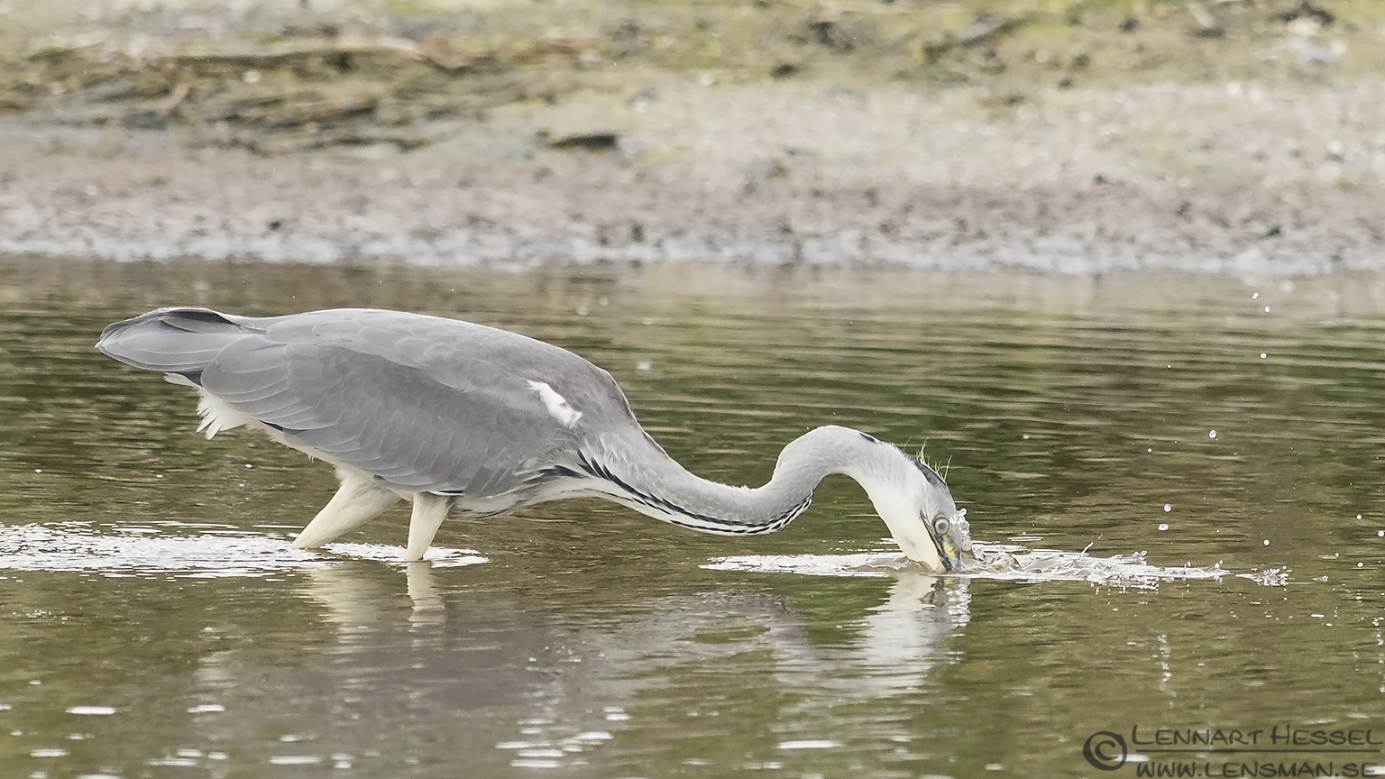 Hunting Grey Heron Halland