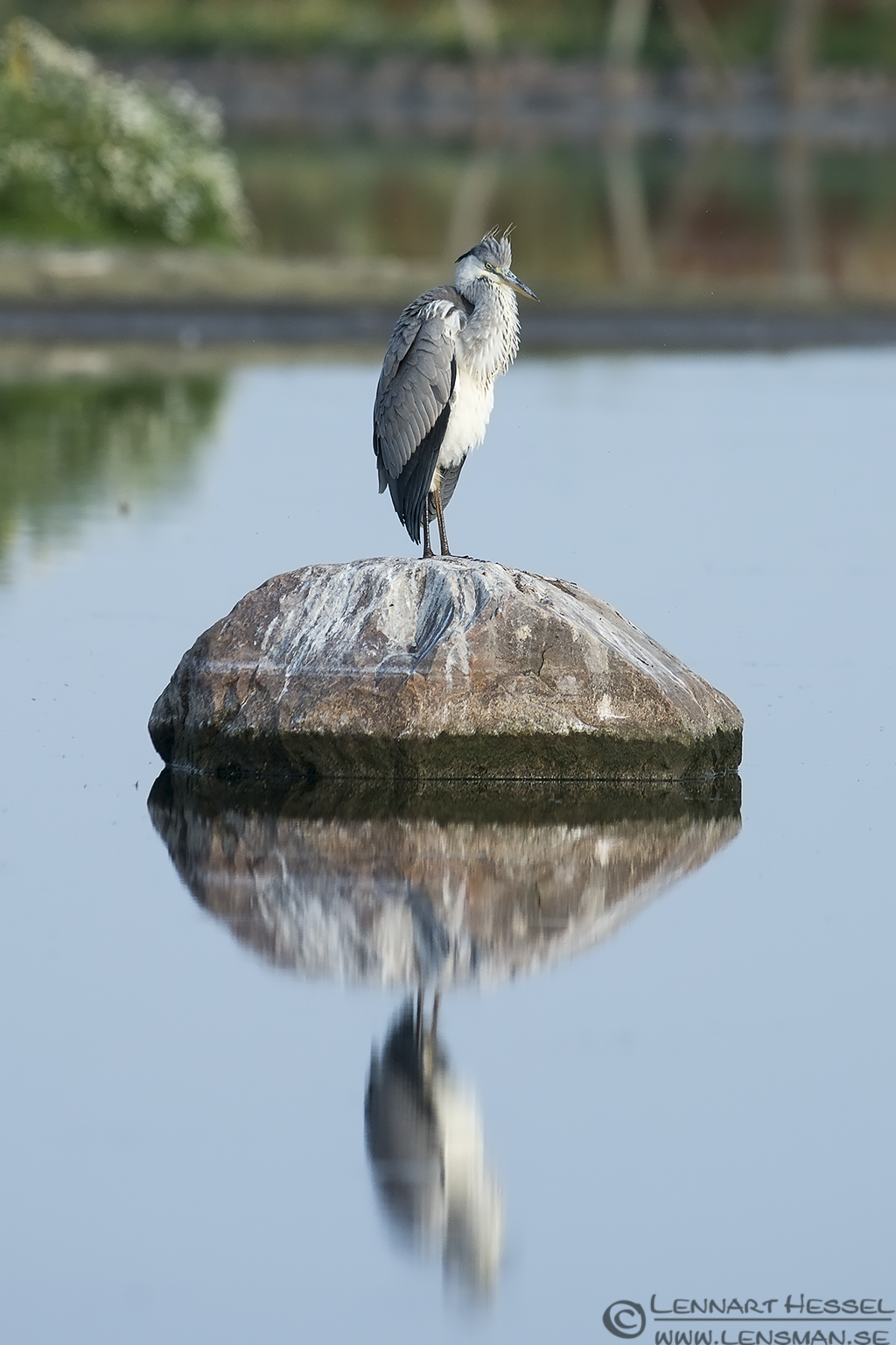 Grey Heron Halland