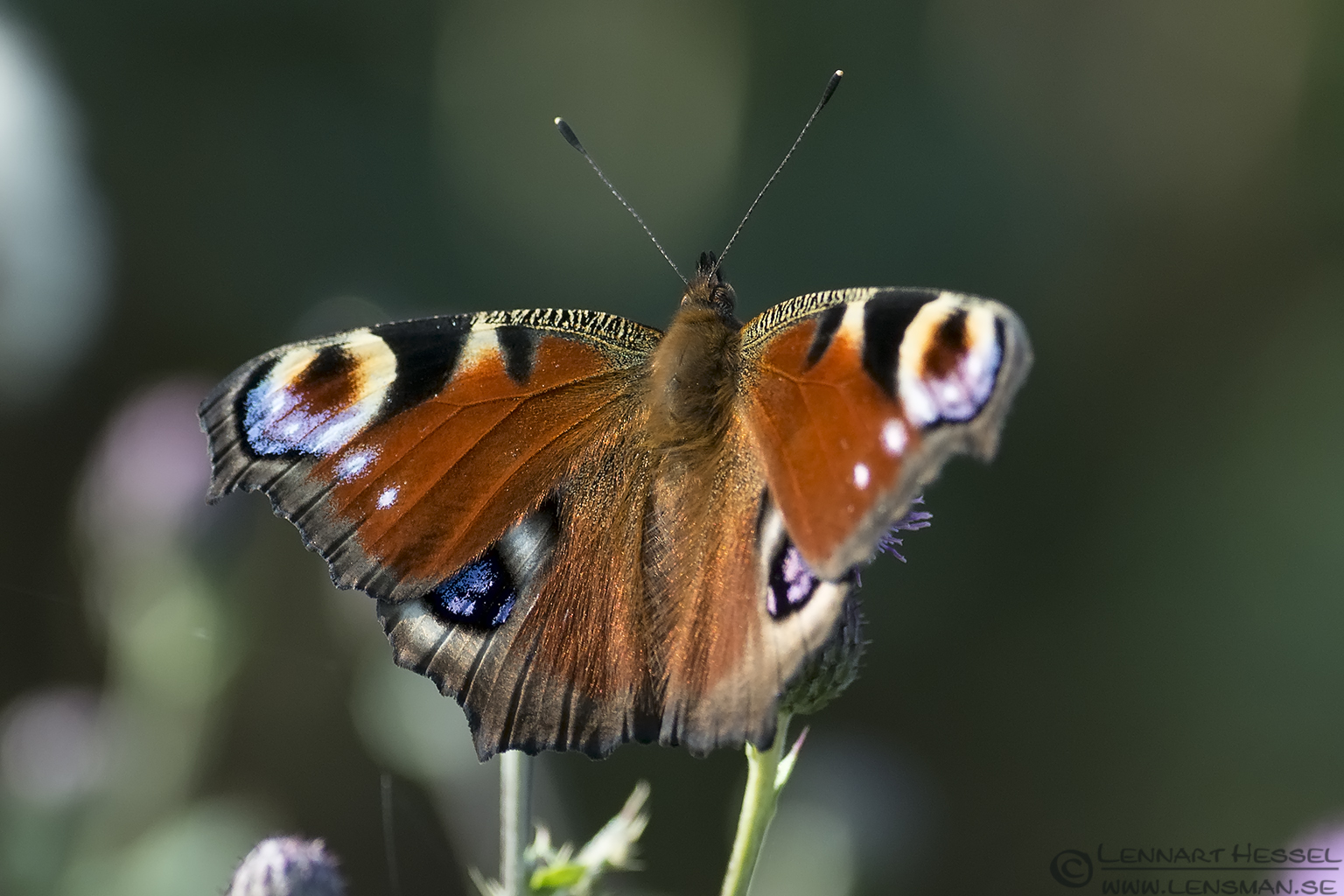 Peacock Butterfly Halland