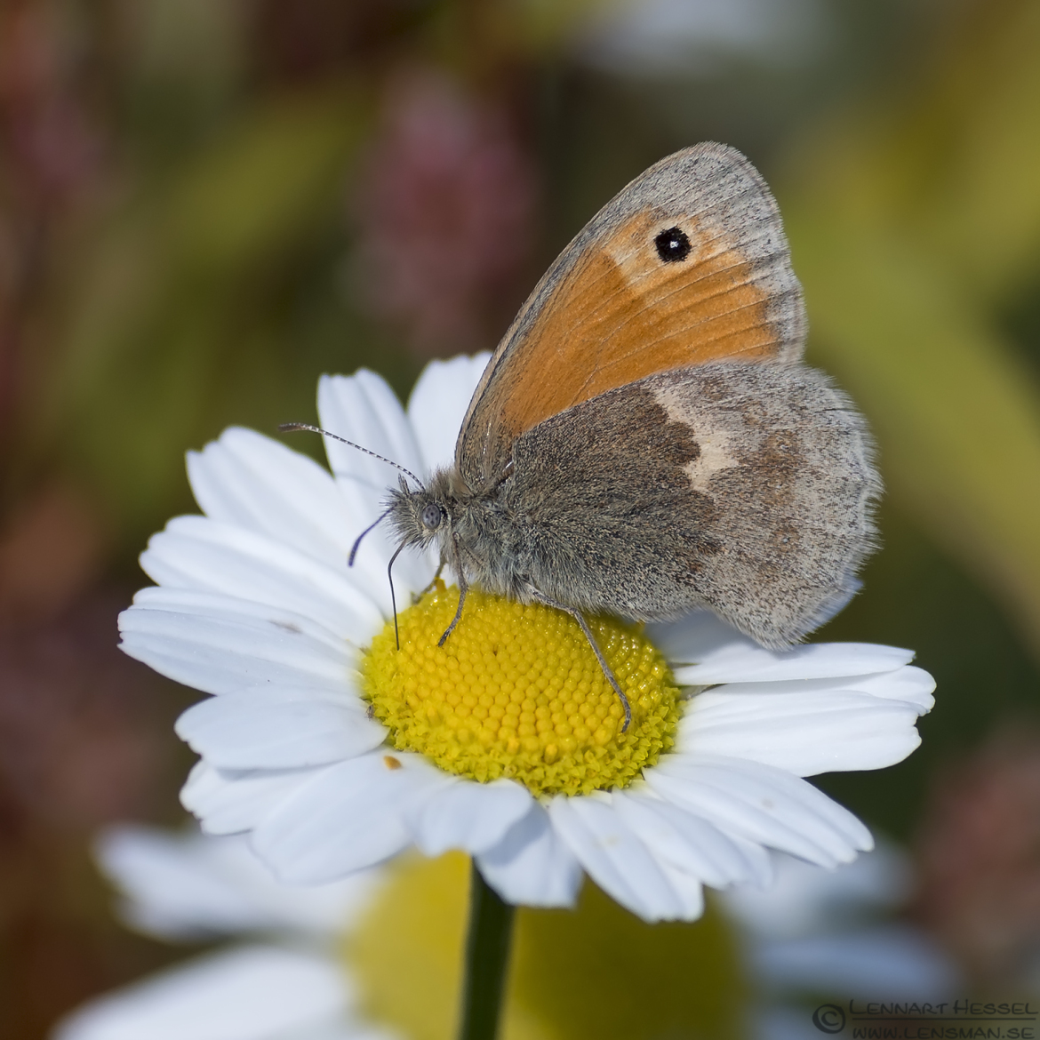 Small Heath Butterfly Halland