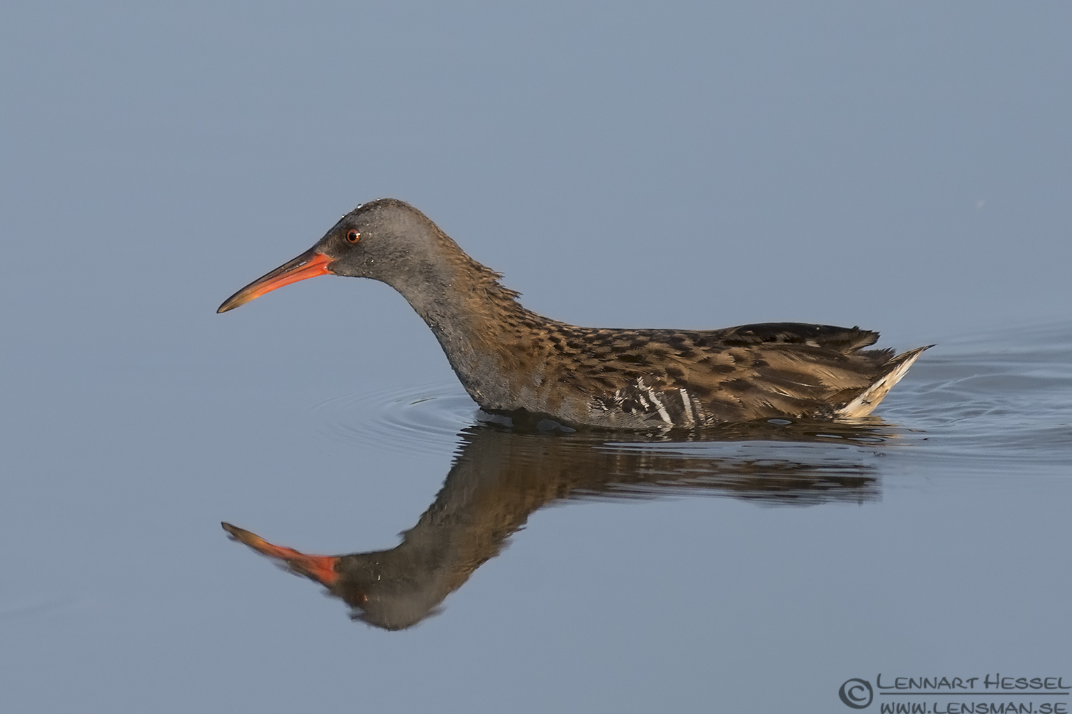 Adult Water Rail Halland