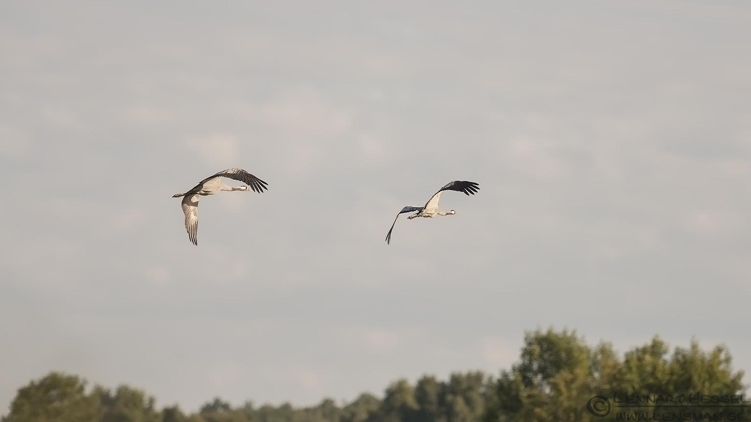 Common Cranes change