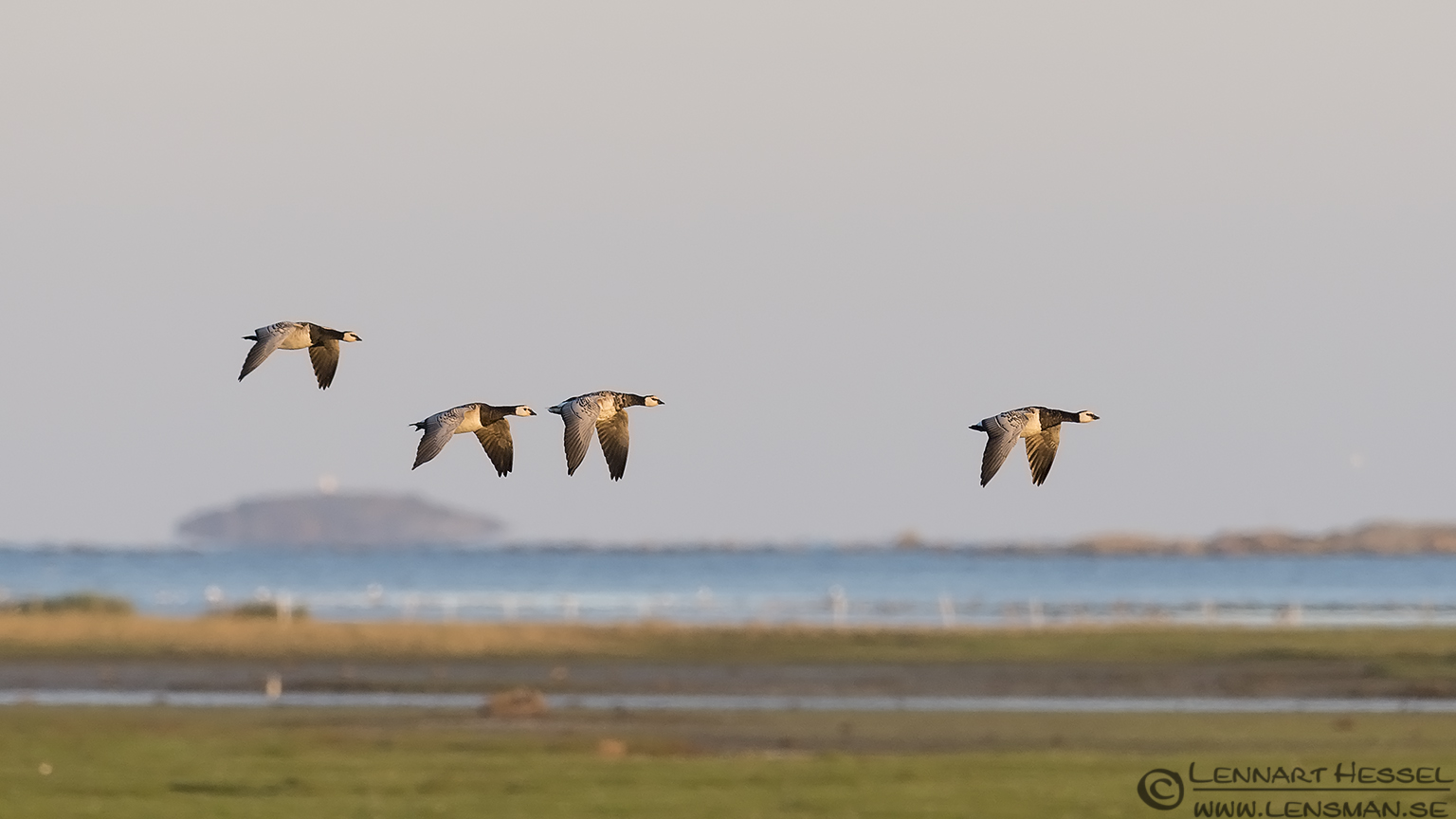 Barnacle Goose hectic