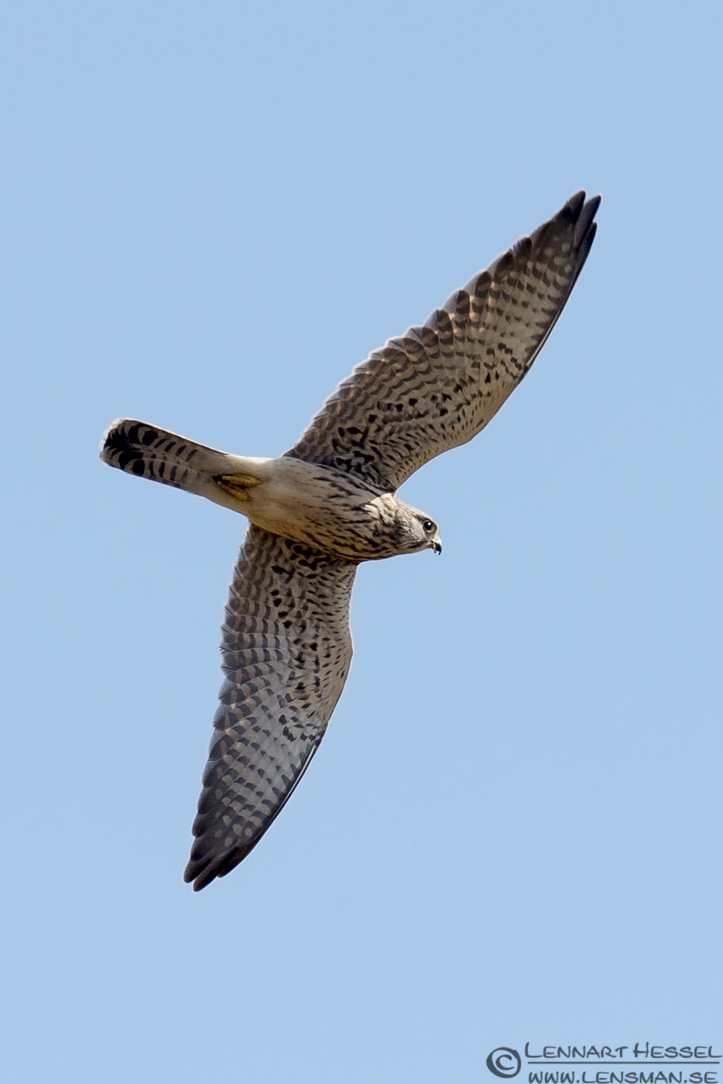 Common Kestrel hectic