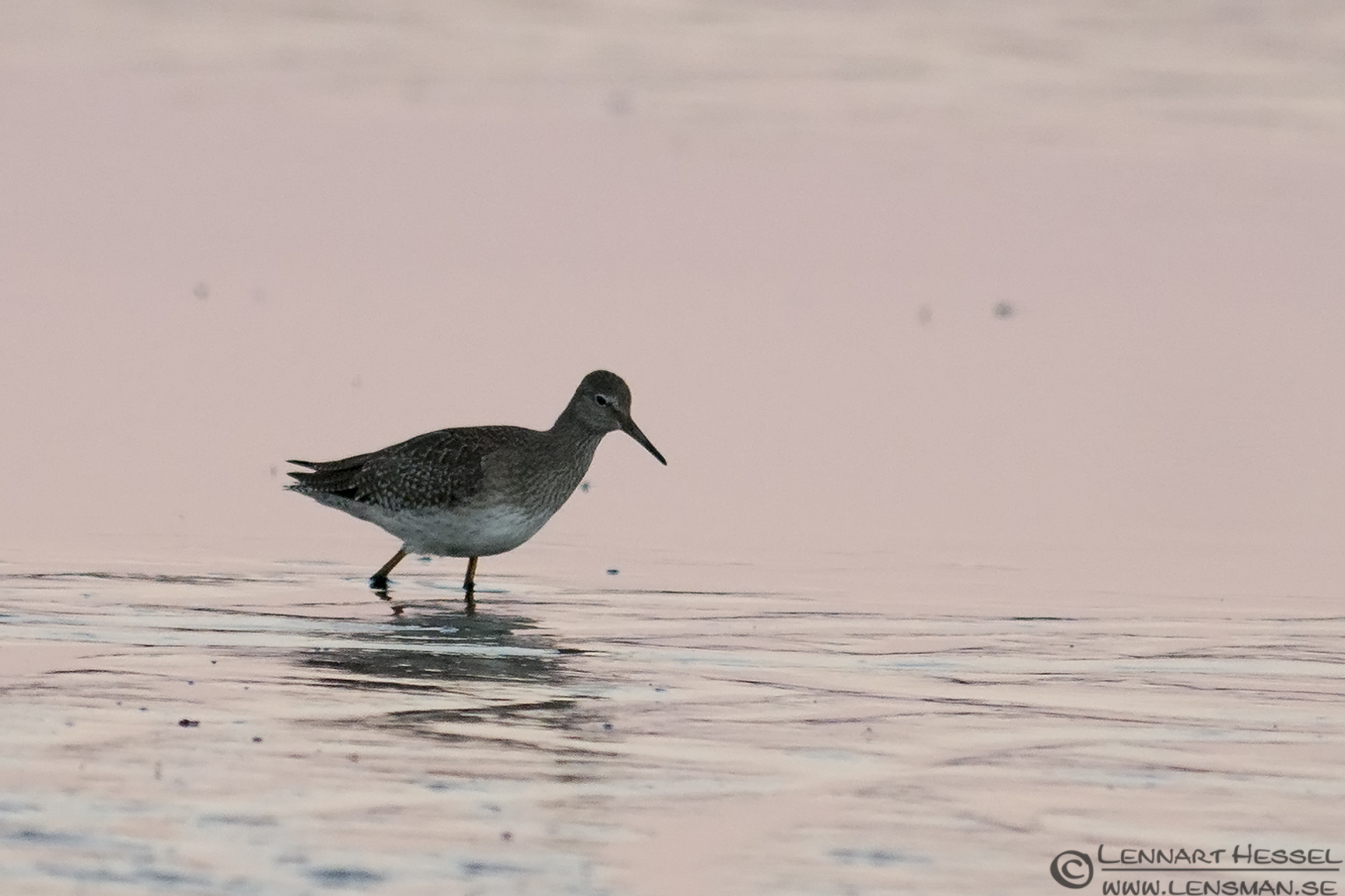Common Redshank hactic