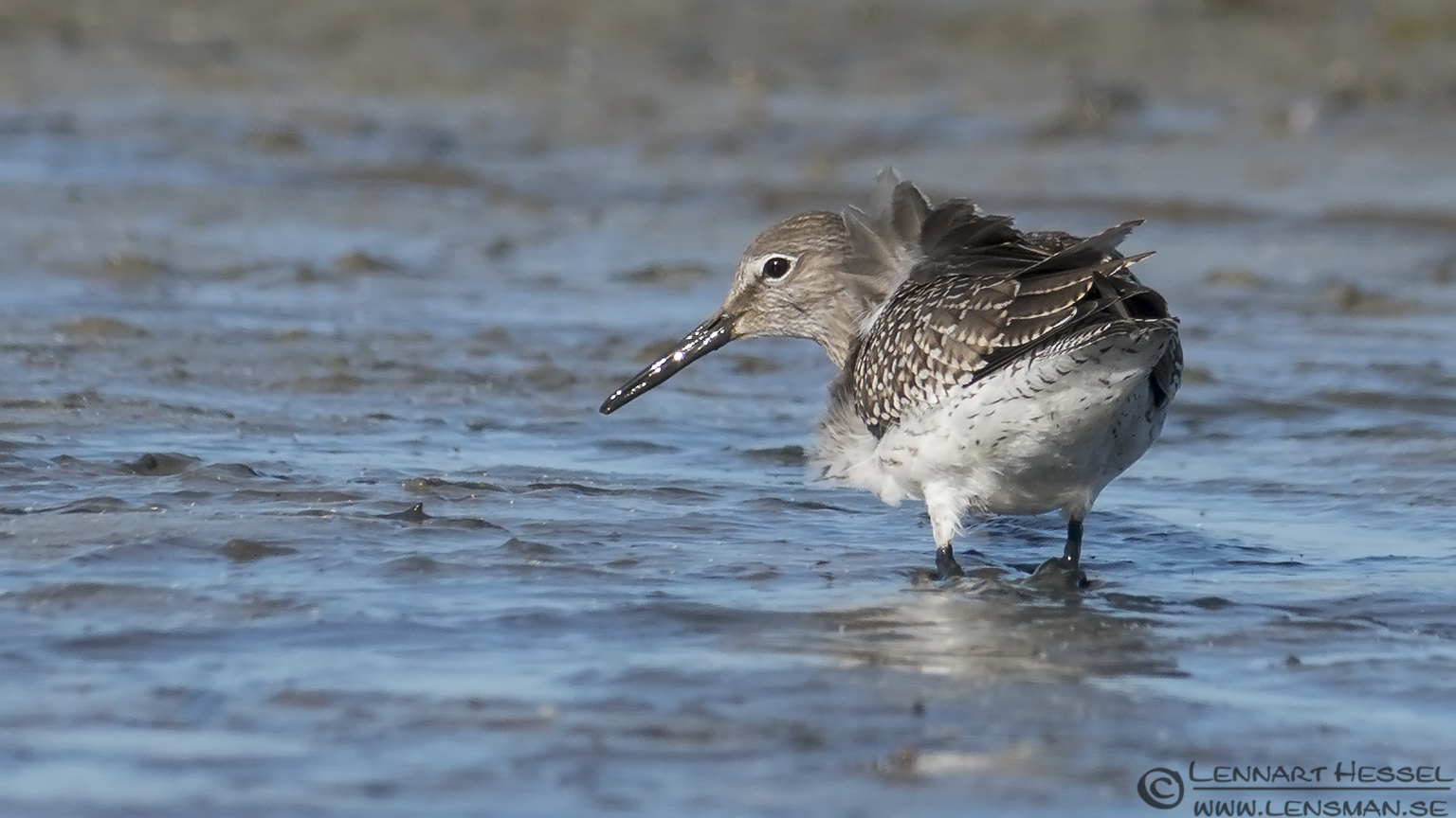 Common Redshank hectic