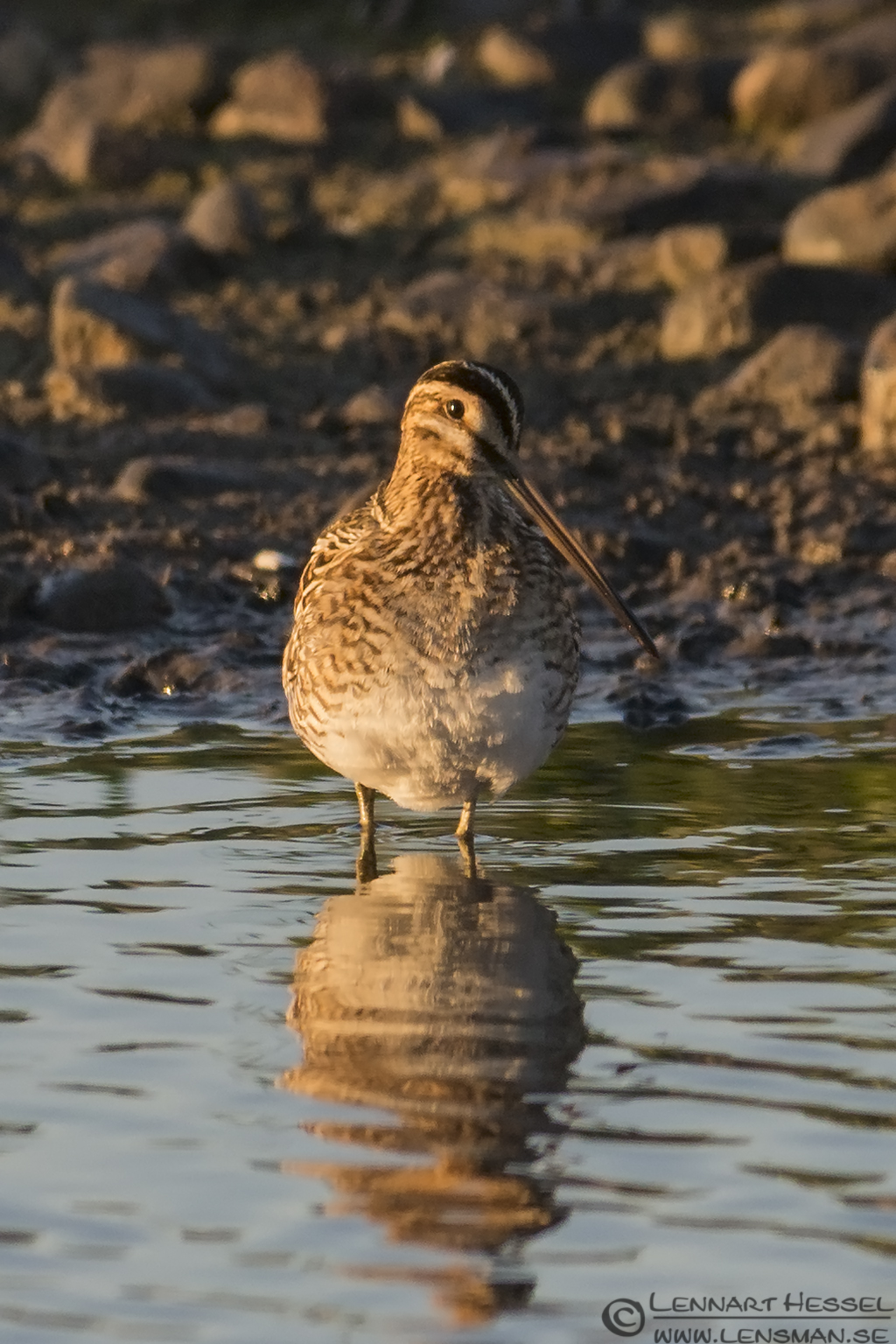 Common Snipe hectic