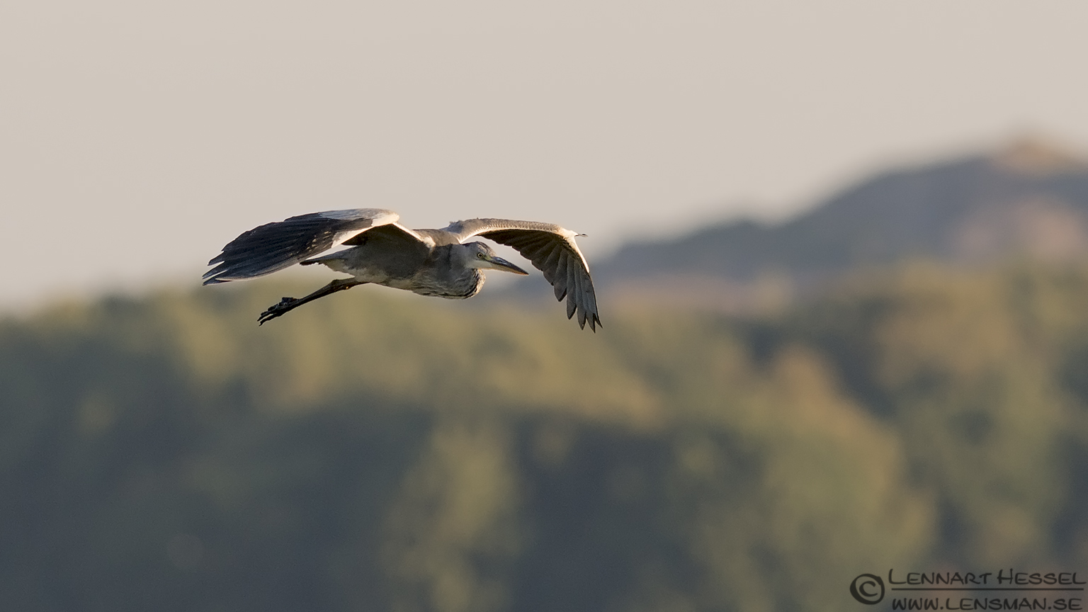 Grey Heron hectic