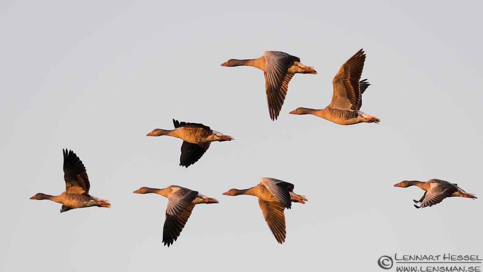 Greylag Goose hectic