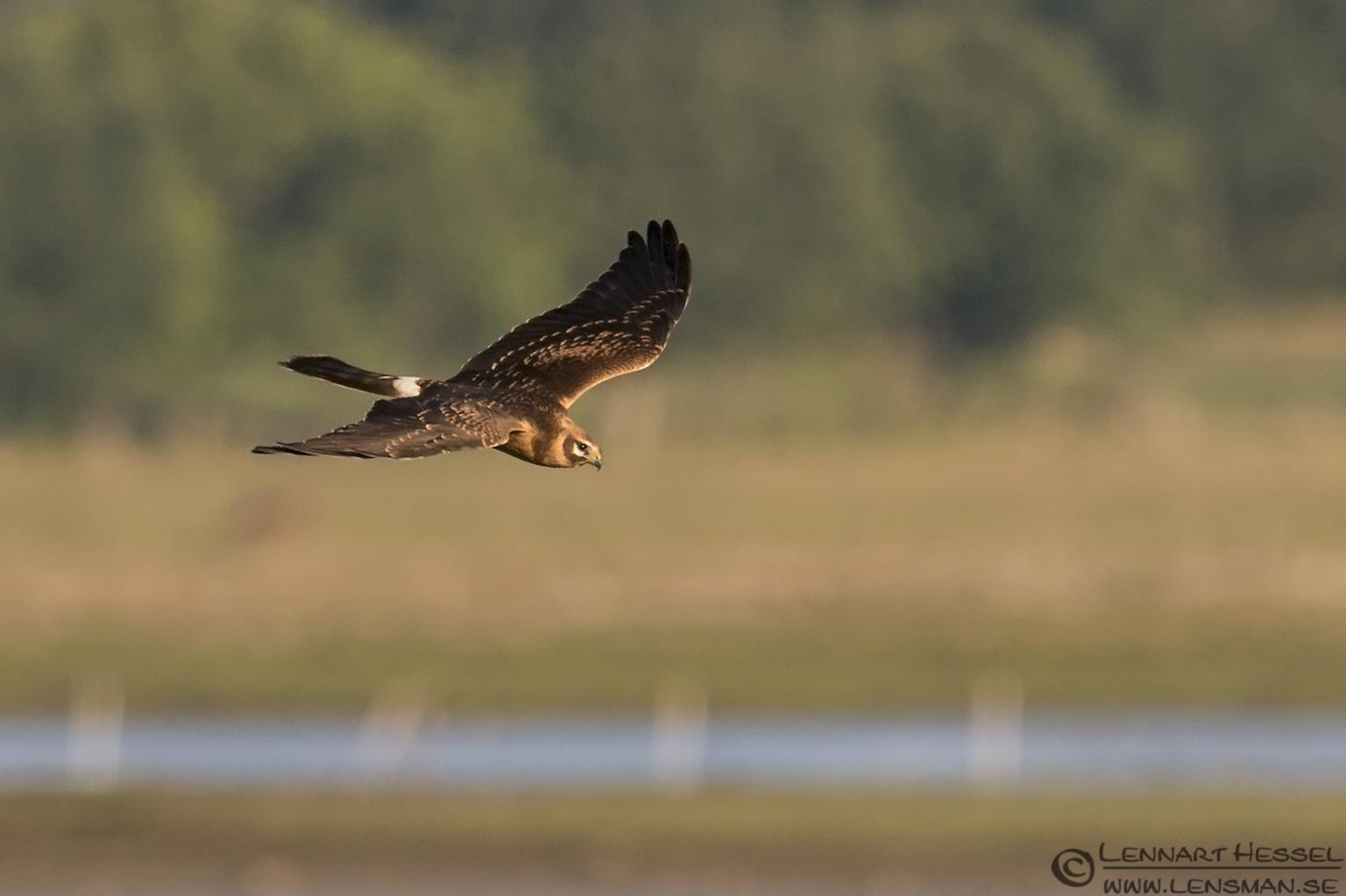 Pallid Harrier hectic