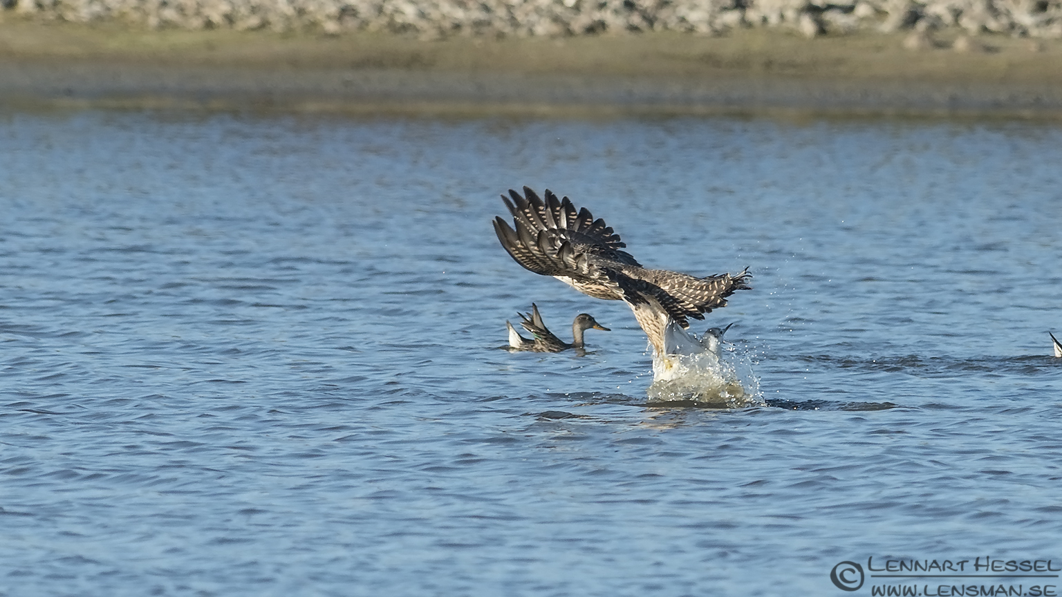 Peregrine Falcon striking a Gull hectic