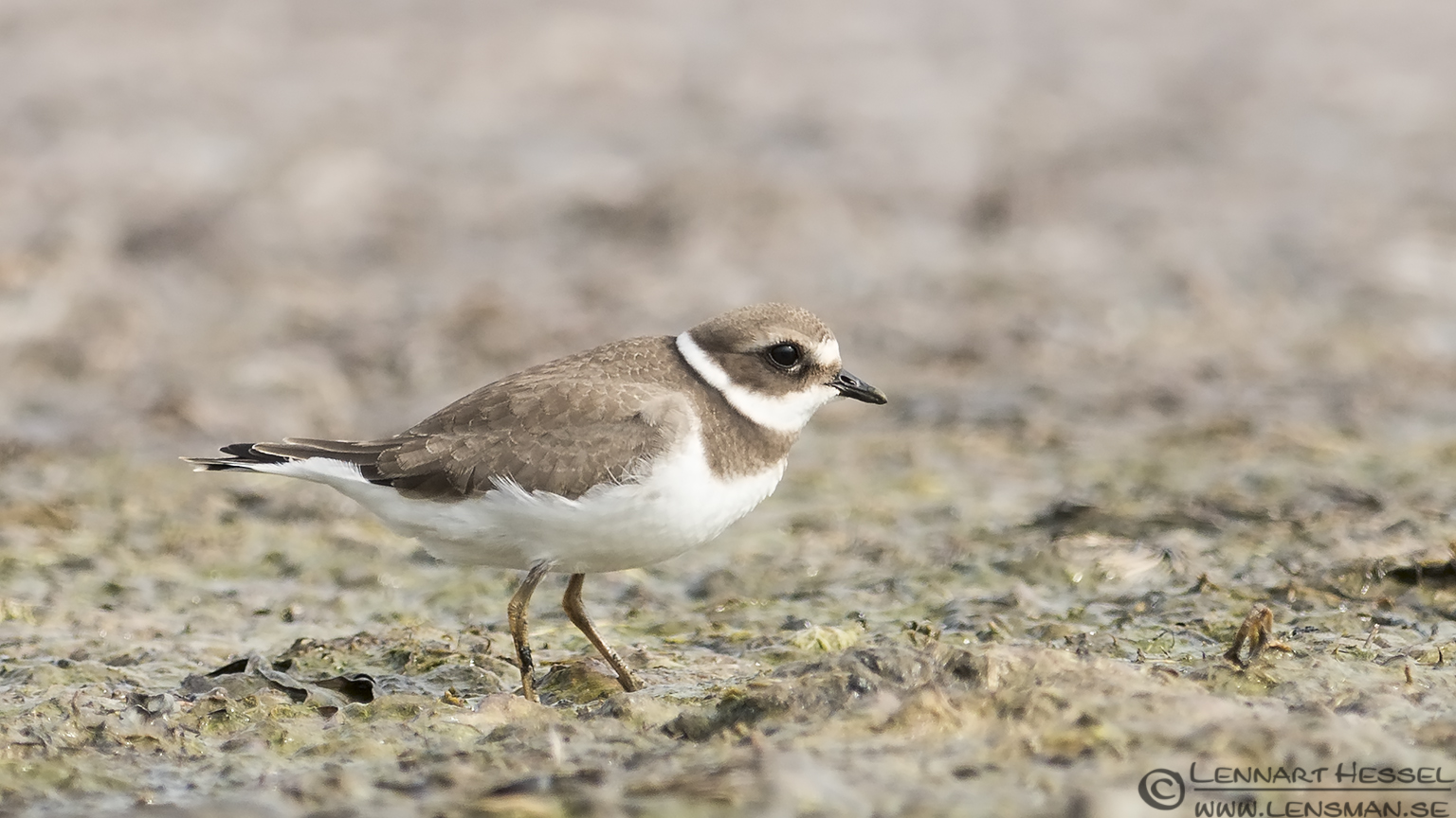 Common Ringed Plover Kingfisher