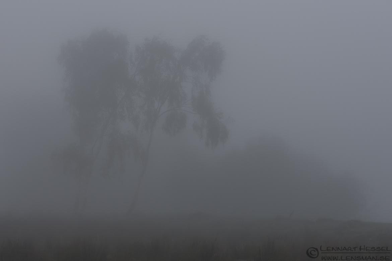 Birches fog
