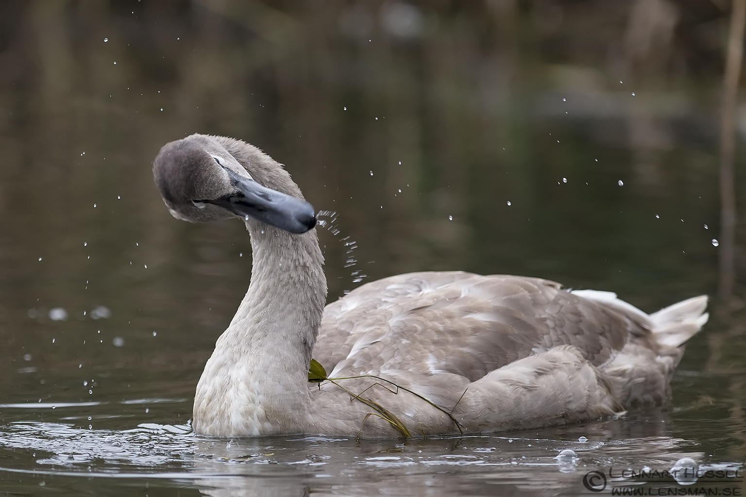 Juvenile Mut Swan cloudy