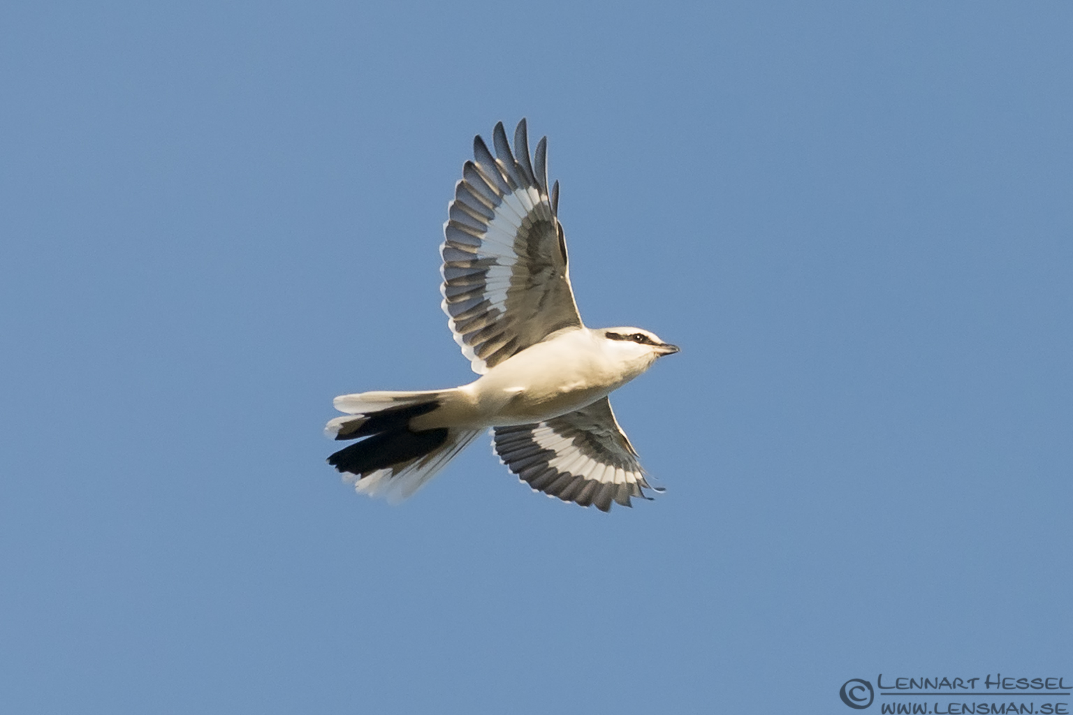 Great Grey Shrike autumn