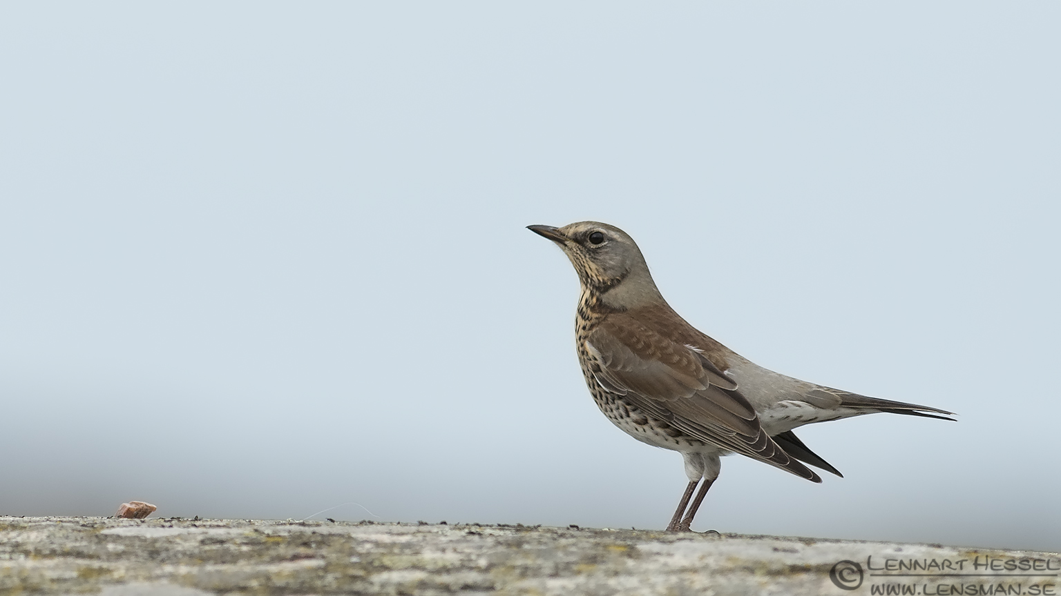 Fieldfare autumn