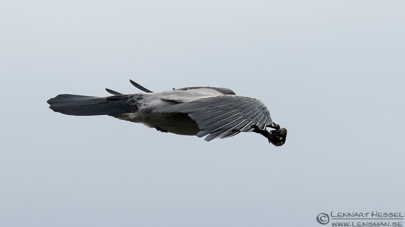 Hooded Crow with blue mussel autumn