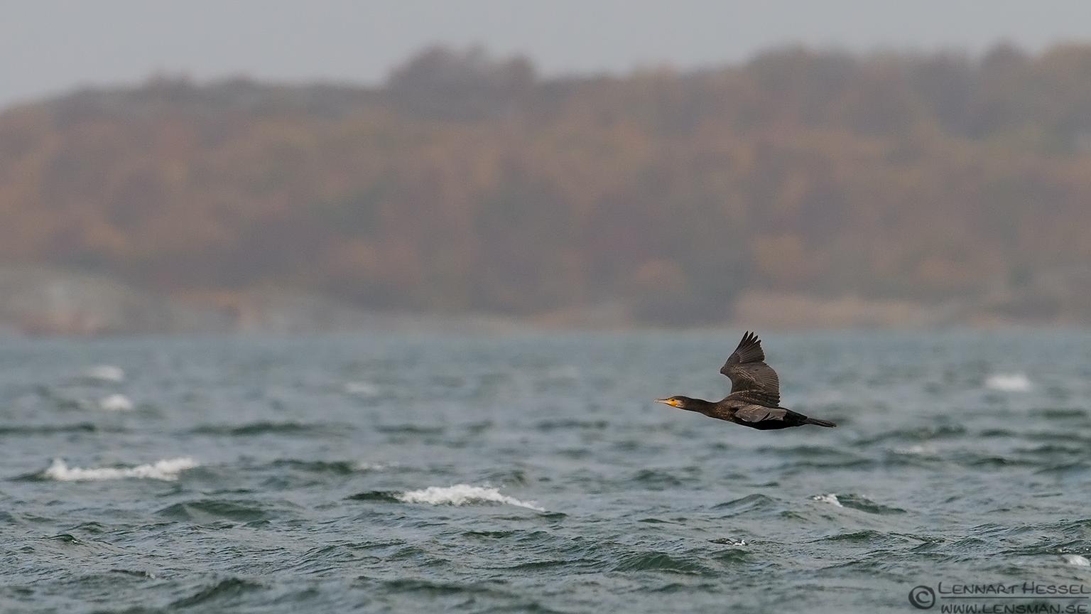 Great Cormorant water
