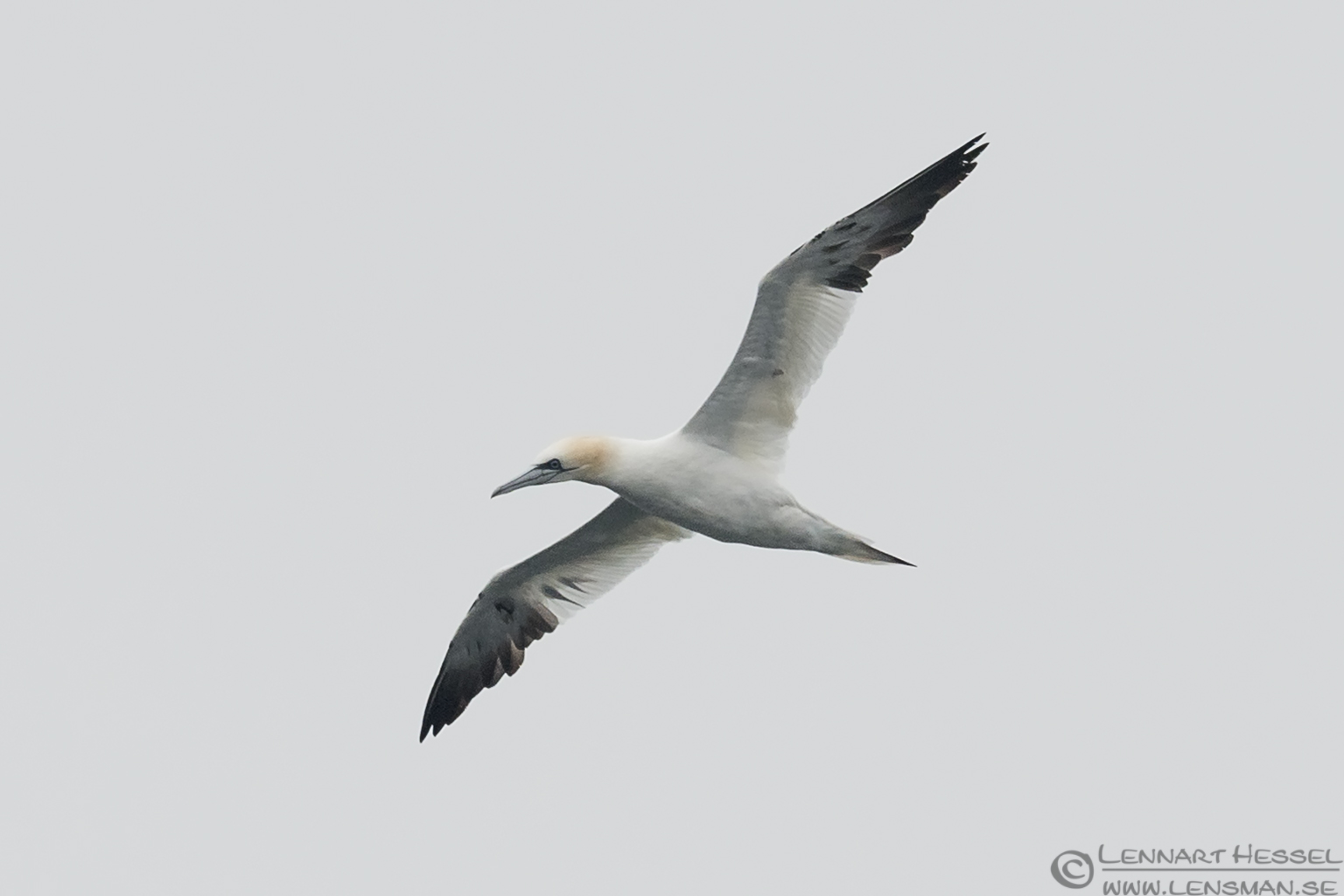 Northern Gannet sideview storm