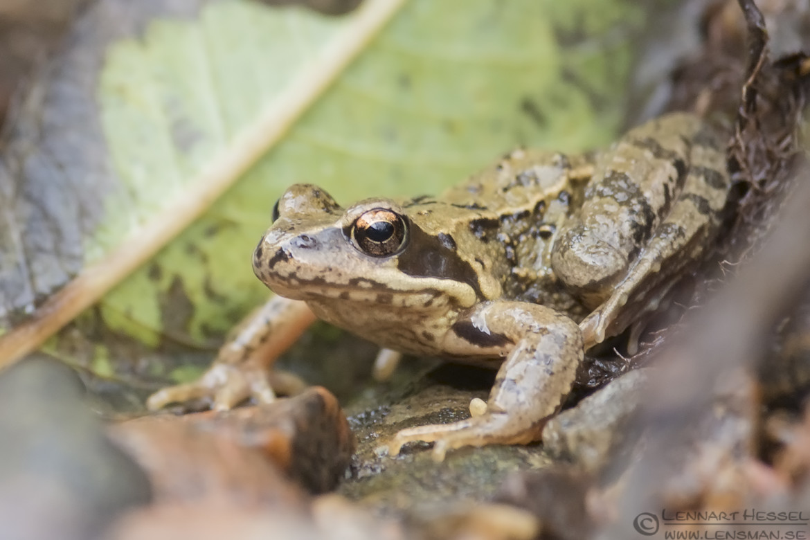 Common Frog dipper