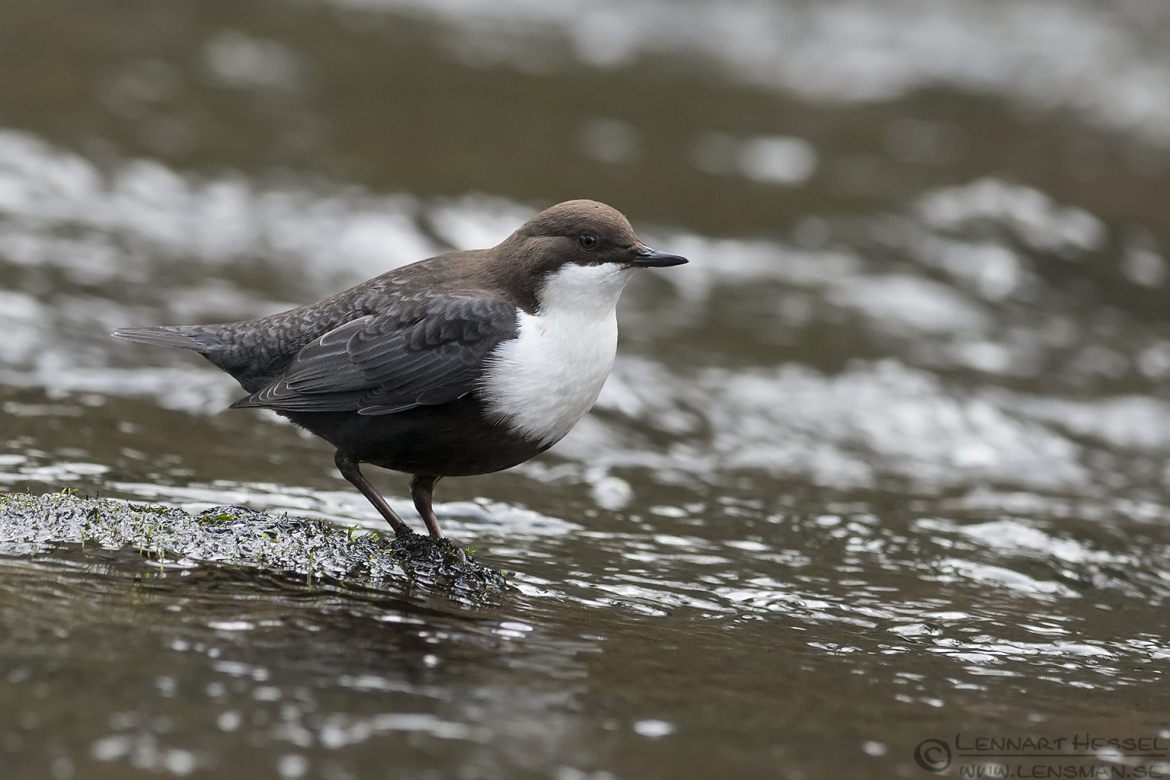 White-throated Dipper reflection