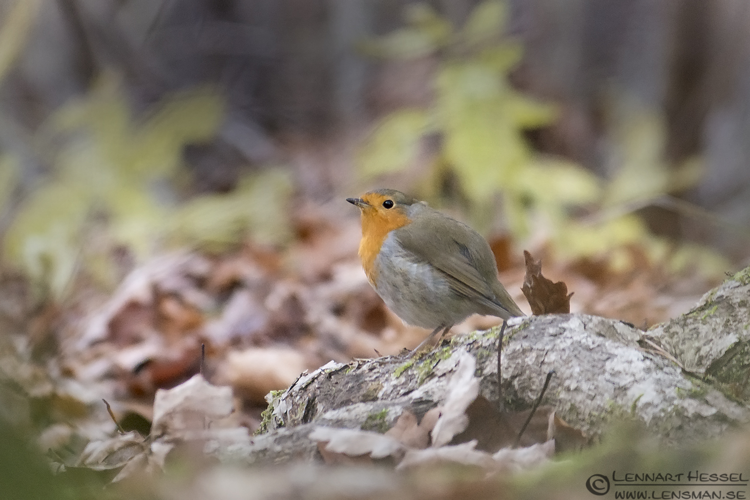 European Robin moon